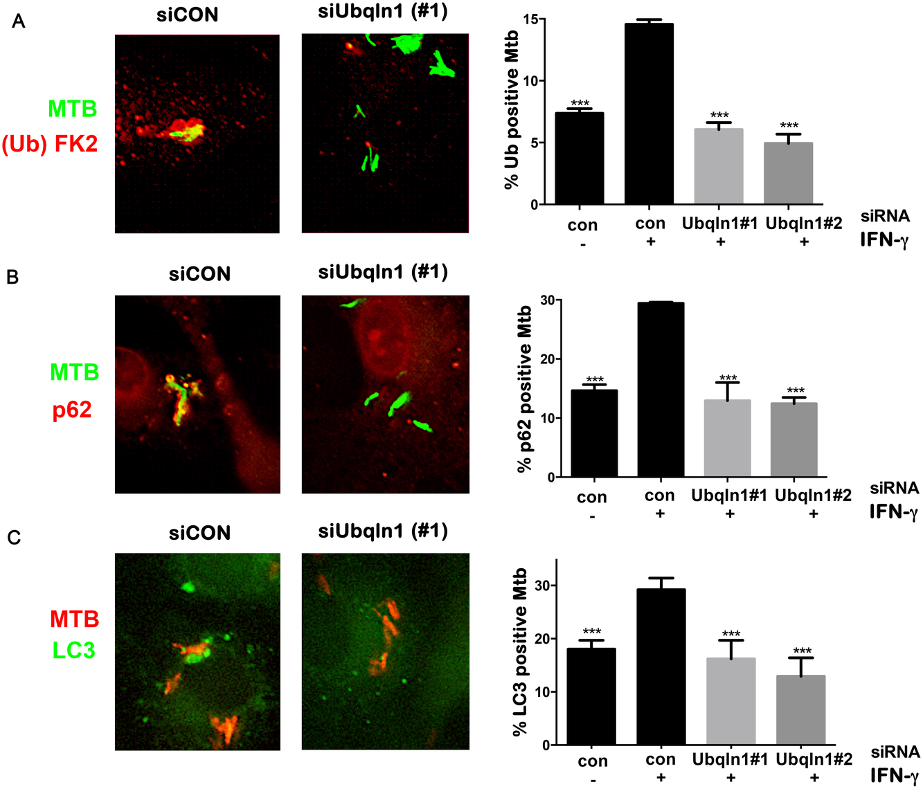 UBQLN1 promotes ubiquitin, p62, and LC3 recruitment to Mtb.
