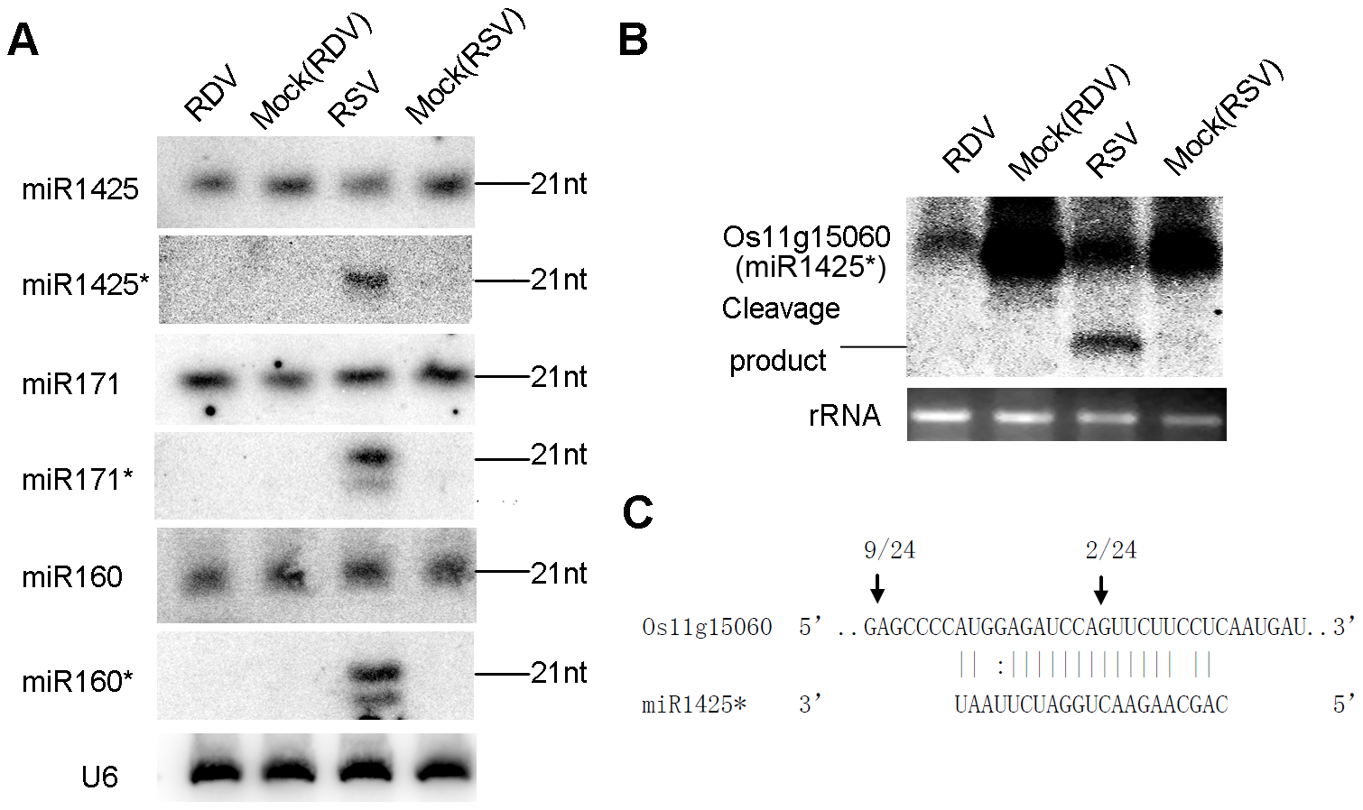 Predominant accumulation of selective miRNA*s in RSV-infected rice.