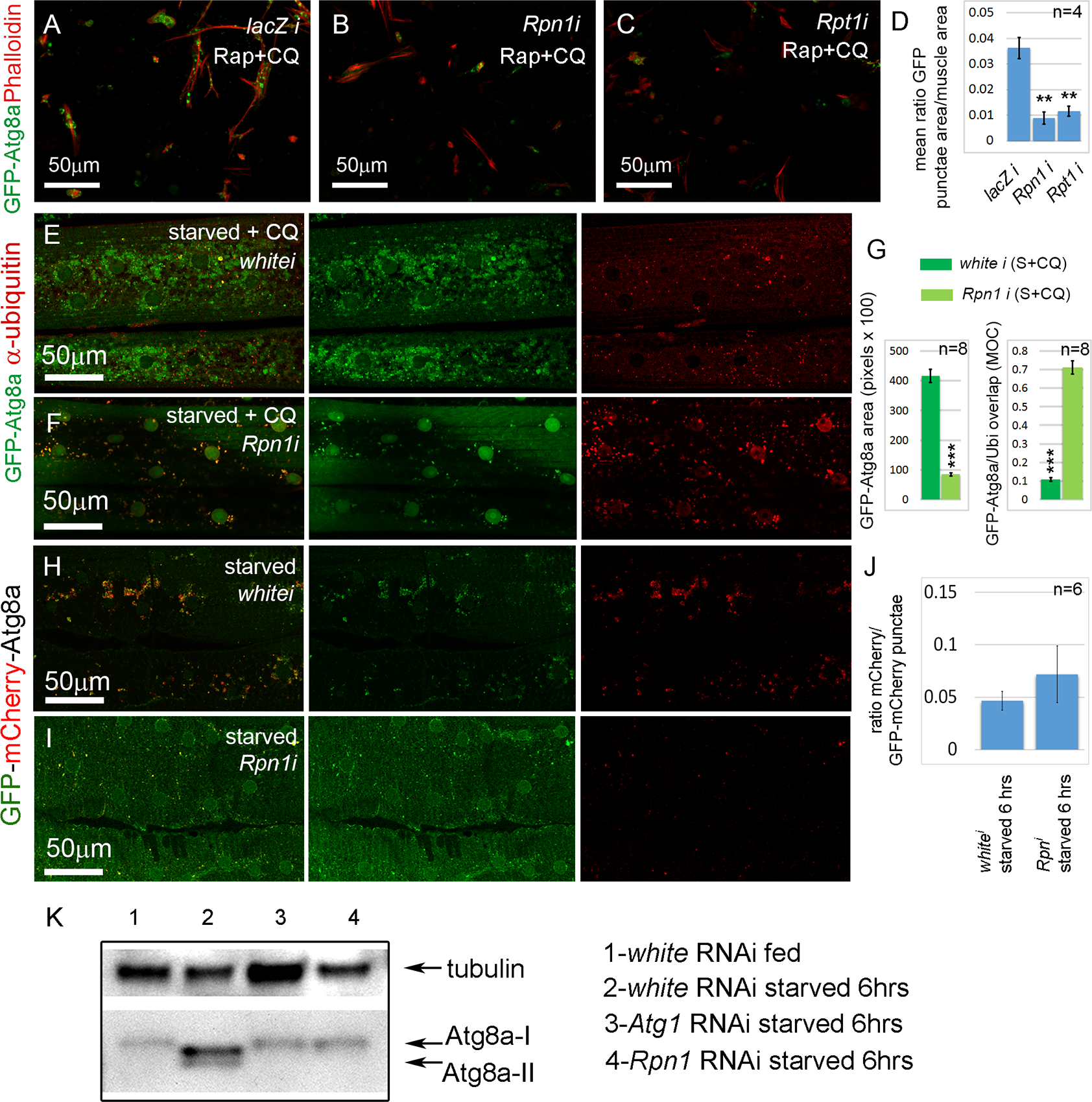Sustained proteasome dysfunction inhibits autophagosome formation.