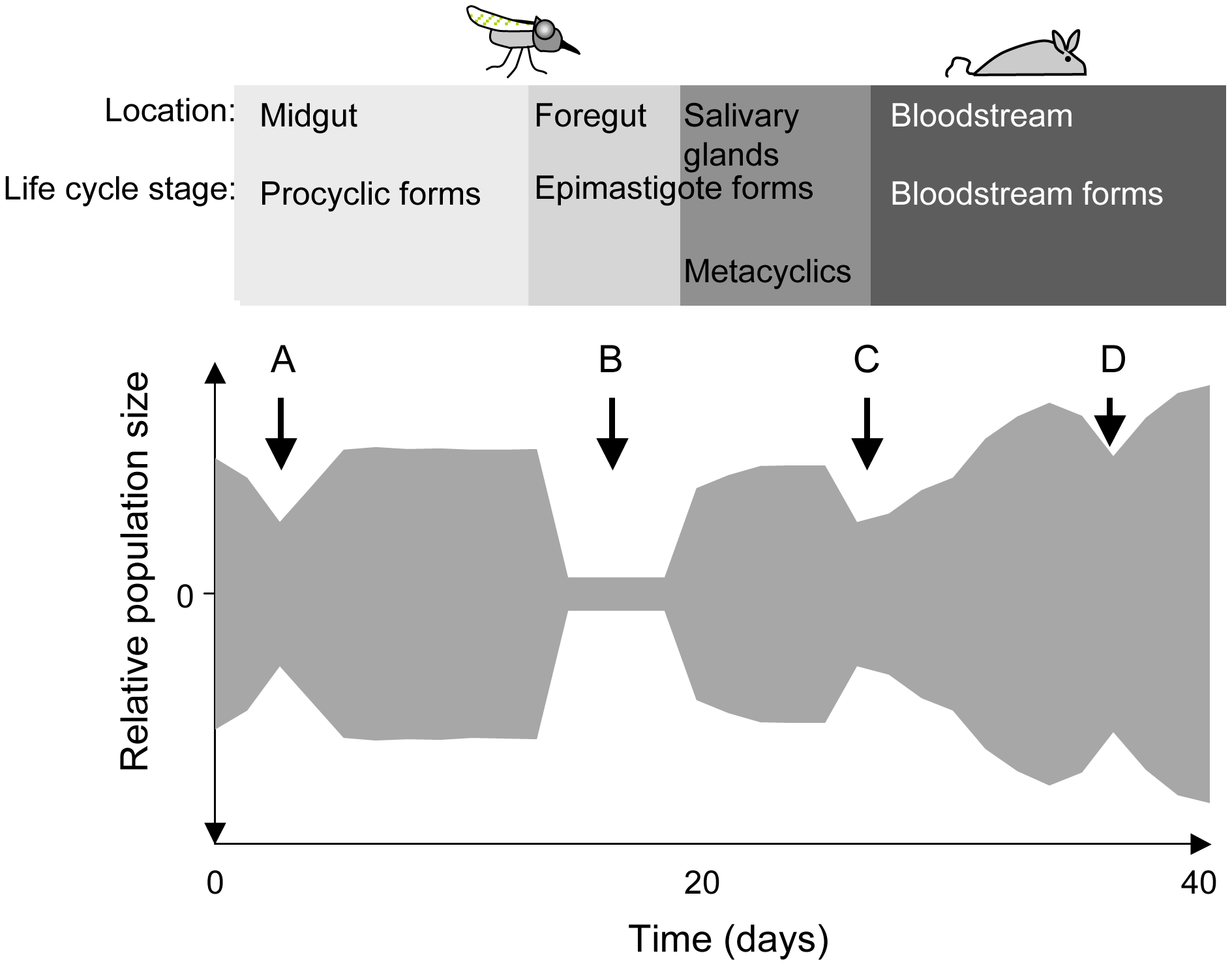 Schematic depiction of population bottlenecks during the life cycle of <i>Trypanosoma brucei</i>.