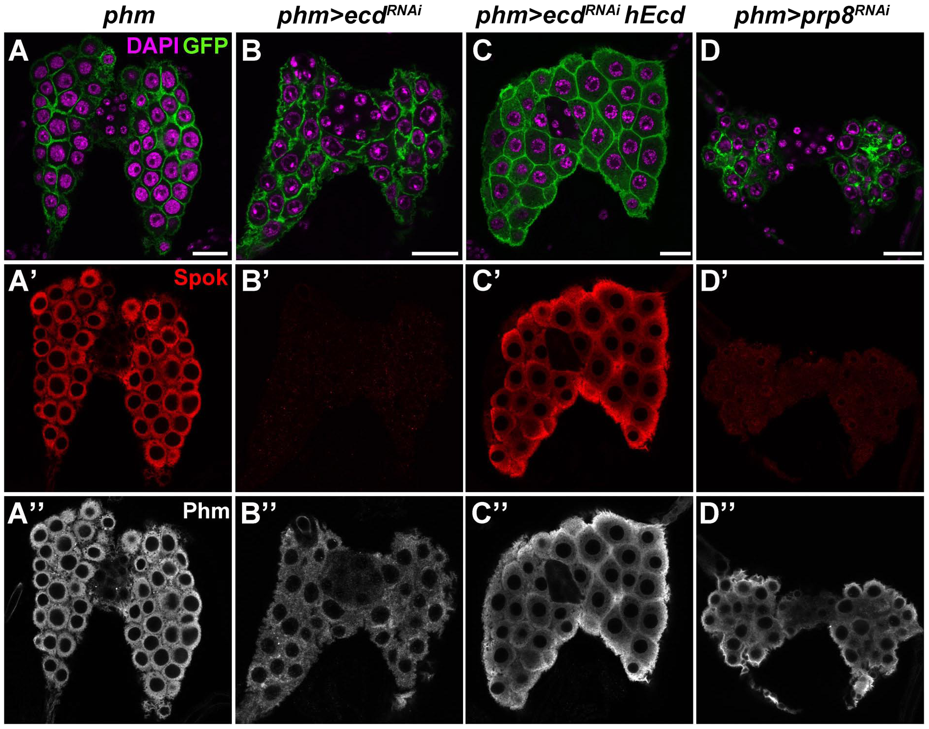 Ecd and Prp8 are required for expression of Spok in the PG.