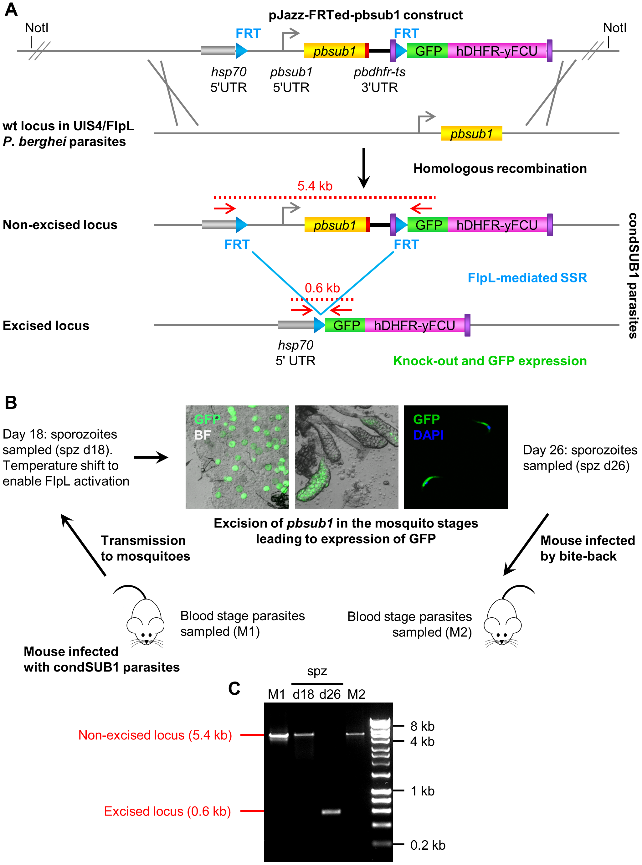 Insect stage-specific conditional deletion of the <i>pbsub1</i> gene blocks the transition from salivary gland sporozoite to subsequent asexual blood stages.
