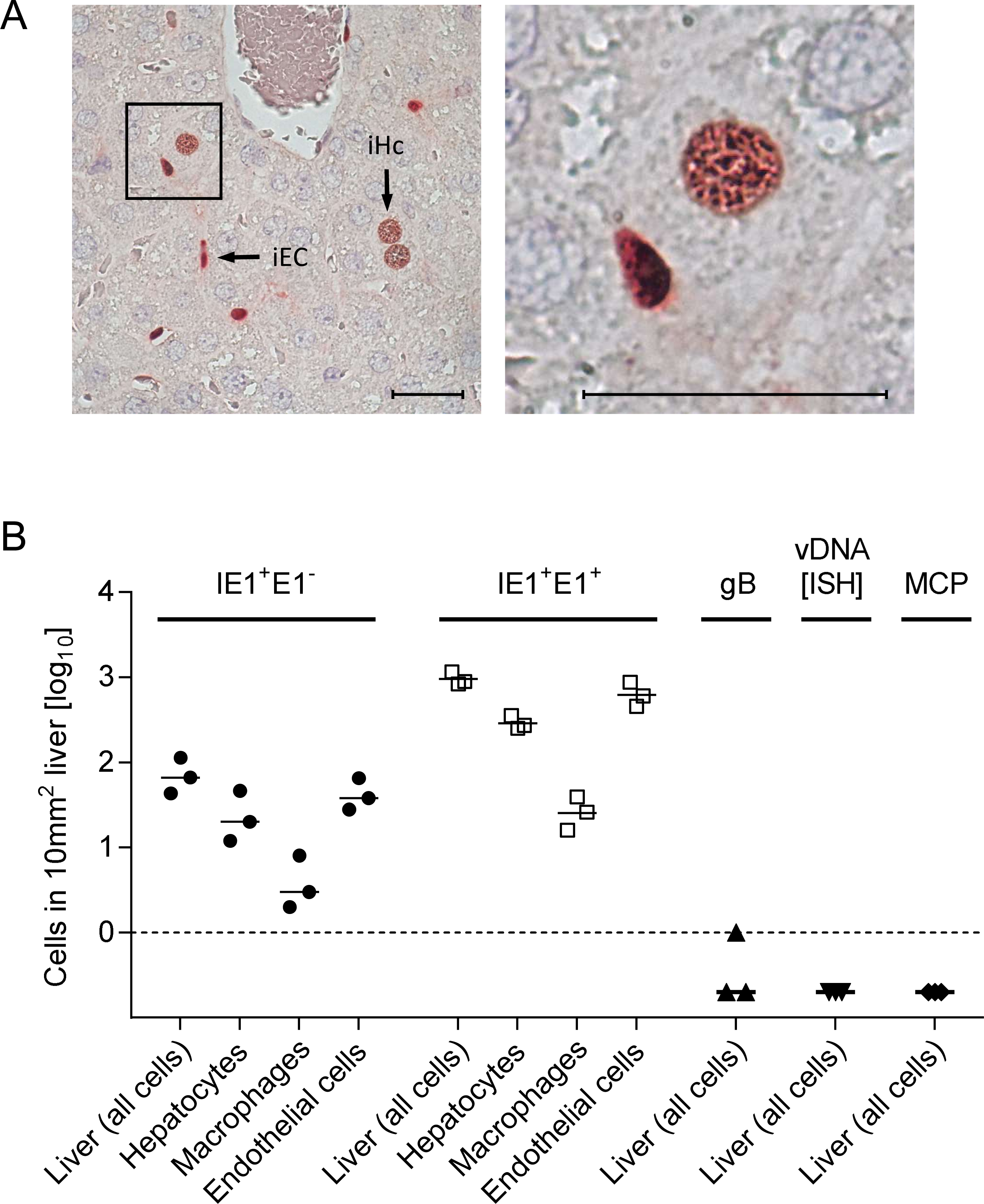 Synchronicity of infection initiation in main cell types of the liver.