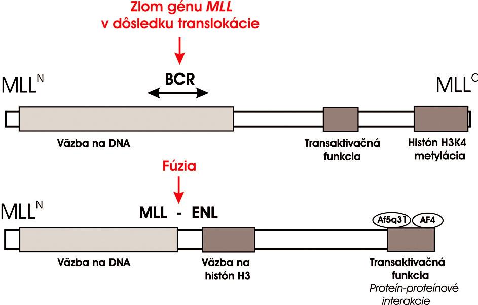 Schematické znázornenie štruktúry MLL proteínu a jeho konverzie na onkogénny transkripčný faktor MLL-ENL. Po fúzii s ENL N-terminálna časť MLL proteínu je zachovaná a podieľa sa na väzbe DNA. MLL ale stráca transaktivačnú a H3K4 metylačnú aktivitu na C-konci. MLL-ENL chimerický onkoproteín získa histón H3-väzobnú funkciu na N-terminálnom konci ENL a transaktivačný potenciál sprostredkovaný s Cterminálnou doménou ENL. Táto doména sa zúčastňuje proteín-proteínových interakcií s ďalšími MLL partnermi AF5q31 a AF4 v rámci elongačného komplexu. Súčasné vedecké poznatky dokazujú, že táto doména je potrebná a dostačujúca k leukemickej transformácii krvotvorných progenitorov (29). Na obrázku je znázornený aj BCR a bodfúzie MLL s ENL.