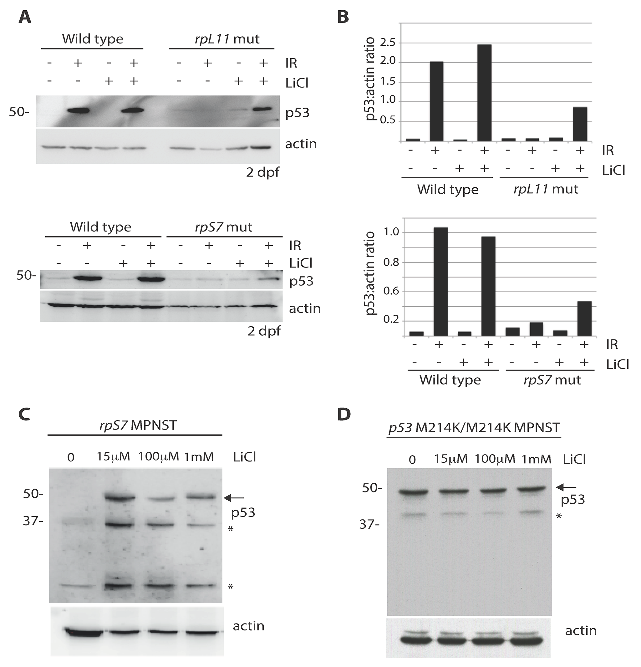 Lithium chloride restores p53 stabilization in RP mutant embryos and tumor cells.