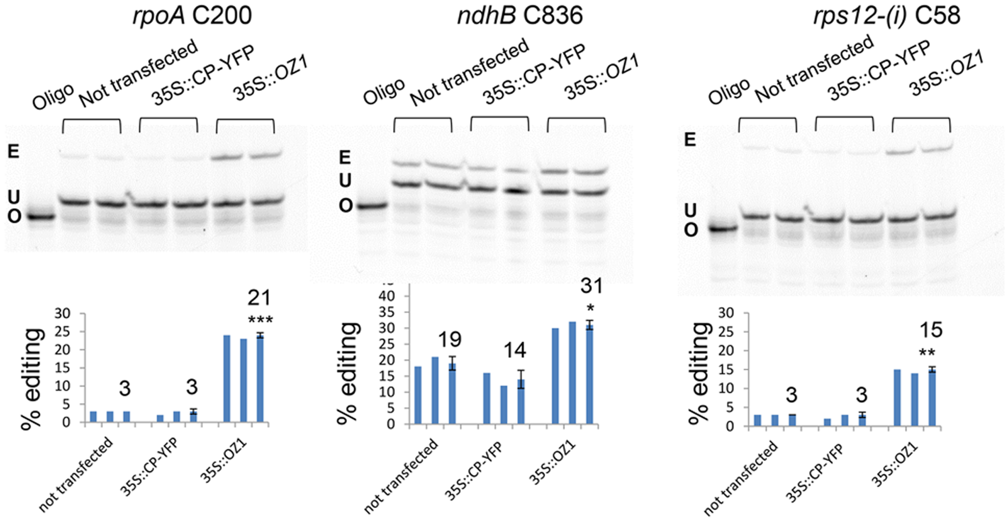 Transient expression of <i>OZ1</i> under a 35S promoter in <i>oz1–1</i> mutant protoplasts complements the editing defects.