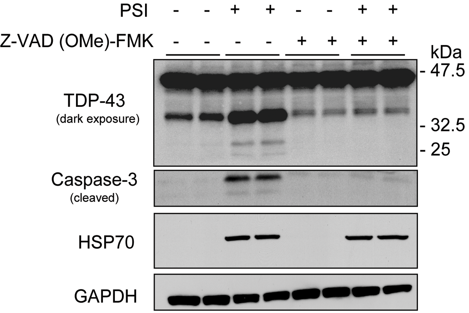 Proteasome inhibition increases the proteolytic cleavage of TDP-43.