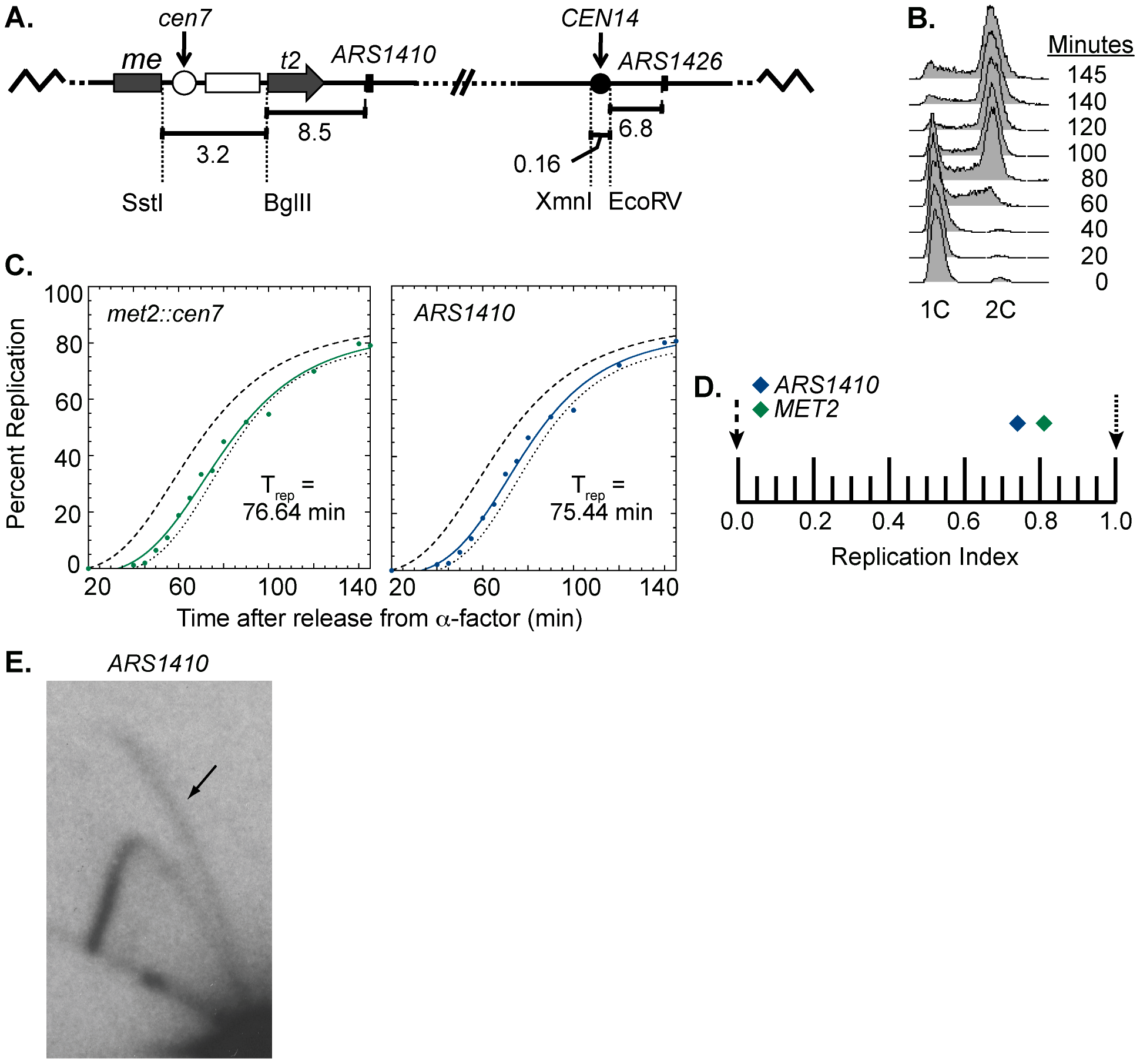 Replication time of point mutated centromere on chromosome XIV.