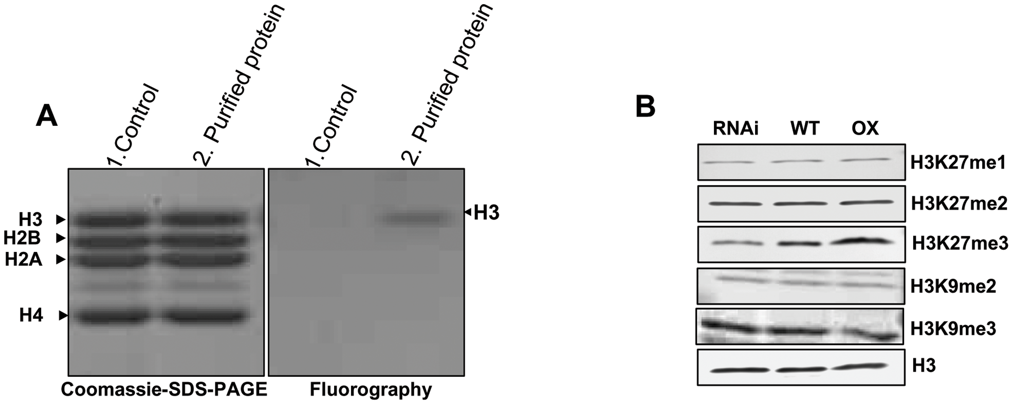 <i>In vitro</i> histone methyl transferase assay and immunoblot analyses of H3 modifications in transgenic lines.