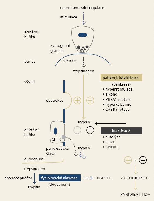 Za fyziologických podmínek nastává konverze trypsinogenu na jeho aktivní formu v duodenu prostřednictvím střevní endopeptidázy, trypsin dále spouští aktivační kaskádu ostatních digestivních enzymů. V případě patologické (intrapankreatické) aktivace trypsinu dochází k utilizaci regulačního systému exokrinního pankreatu. Převaha aktivačních vlivů vyústí do autodigesce žlázy s následnou indukcí zánětu. Fig. 1. Physiologically, conversion of trypsinogen to active trypsin takes place in the duodenum and it is mediated by intestinal endopeptidase. Trypsin subsequently triggers activation of other digestive enzymes. Pathological (intrapancreatic) activation of trypsin leads to utilization of regulatory system of exocrine pancreas. Overactivation leads to gland autodigestion and induction of inflammation.