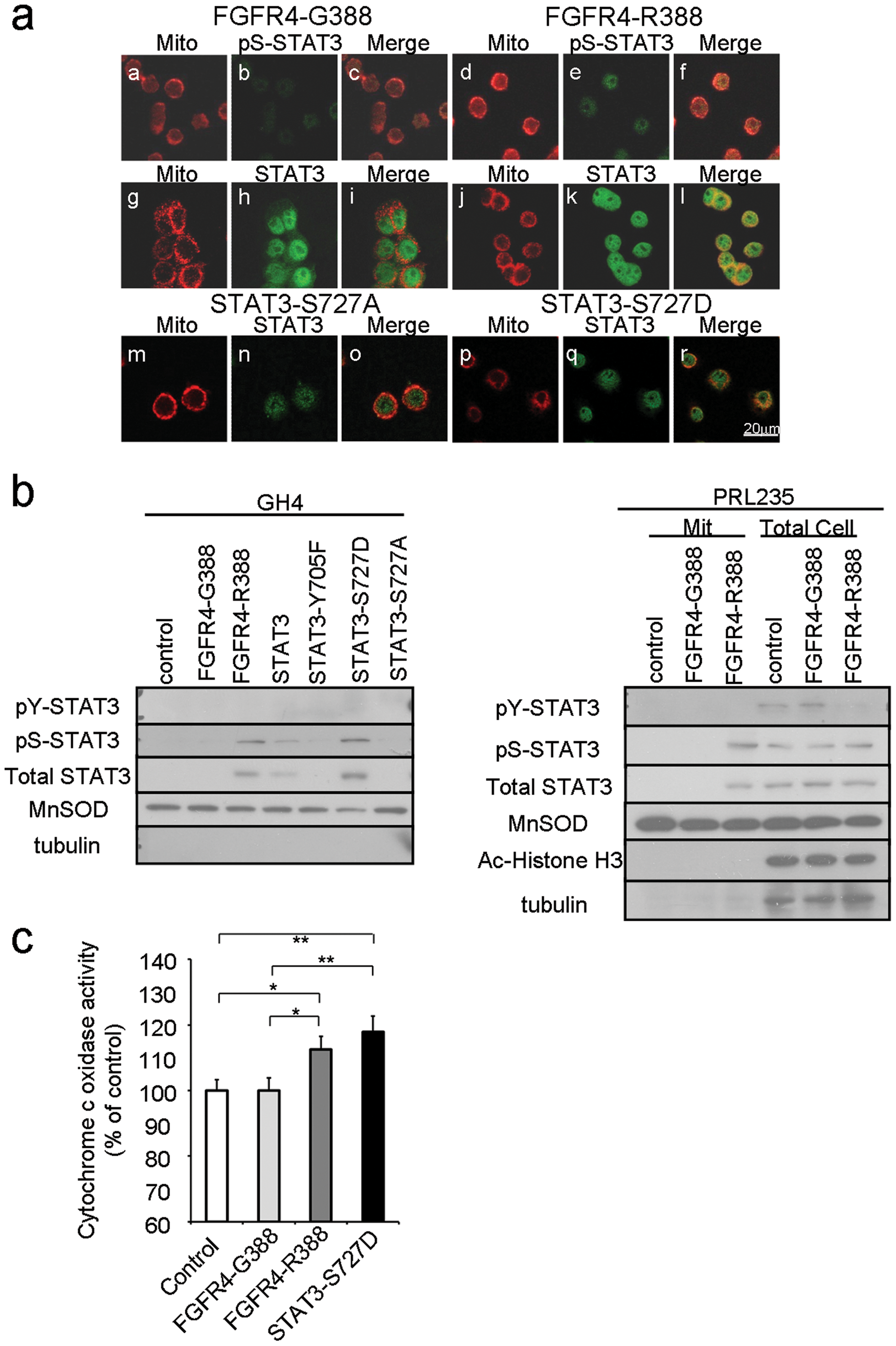 FGFR4-R388 relies on STAT3 serine phosphorylation to induce mitochondrial Cytochrome c activity and pituitary tumor cell growth.