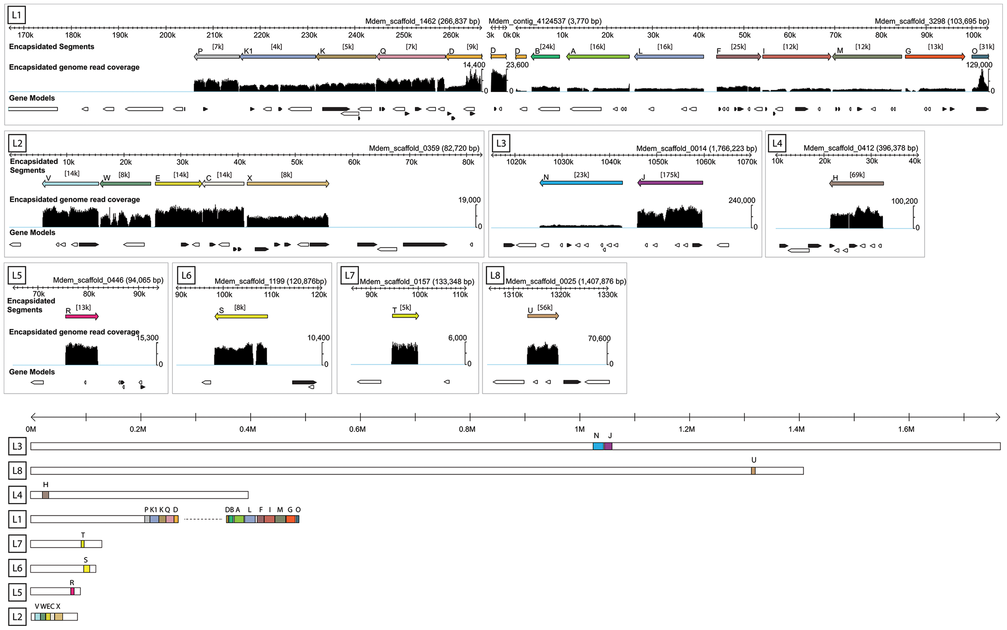Genomic organization of MdBV proviral segment loci.