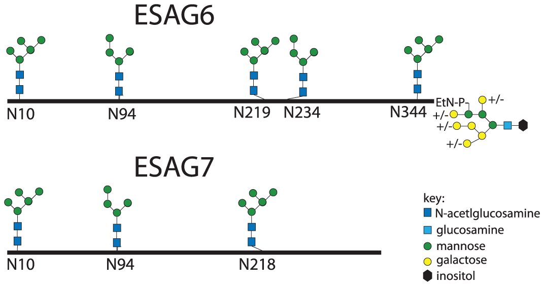 Glycosylation patterns of ESAG6 and ESAG7.