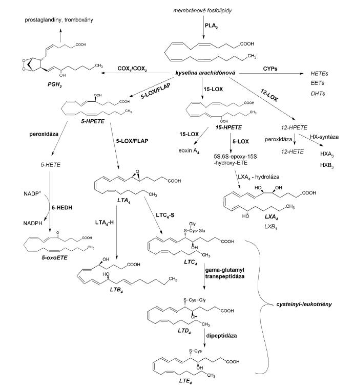 Metabolicke dráhy kyseliny arachidónovej a syntéza najvýznamnejších eikozanoidov