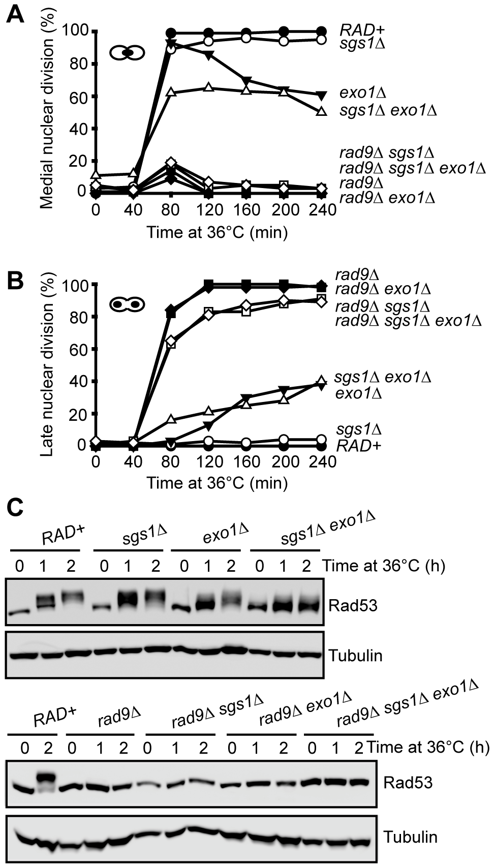 Checkpoint response to telomere uncapping in the absence of Sgs1, Exo1, and Rad9.