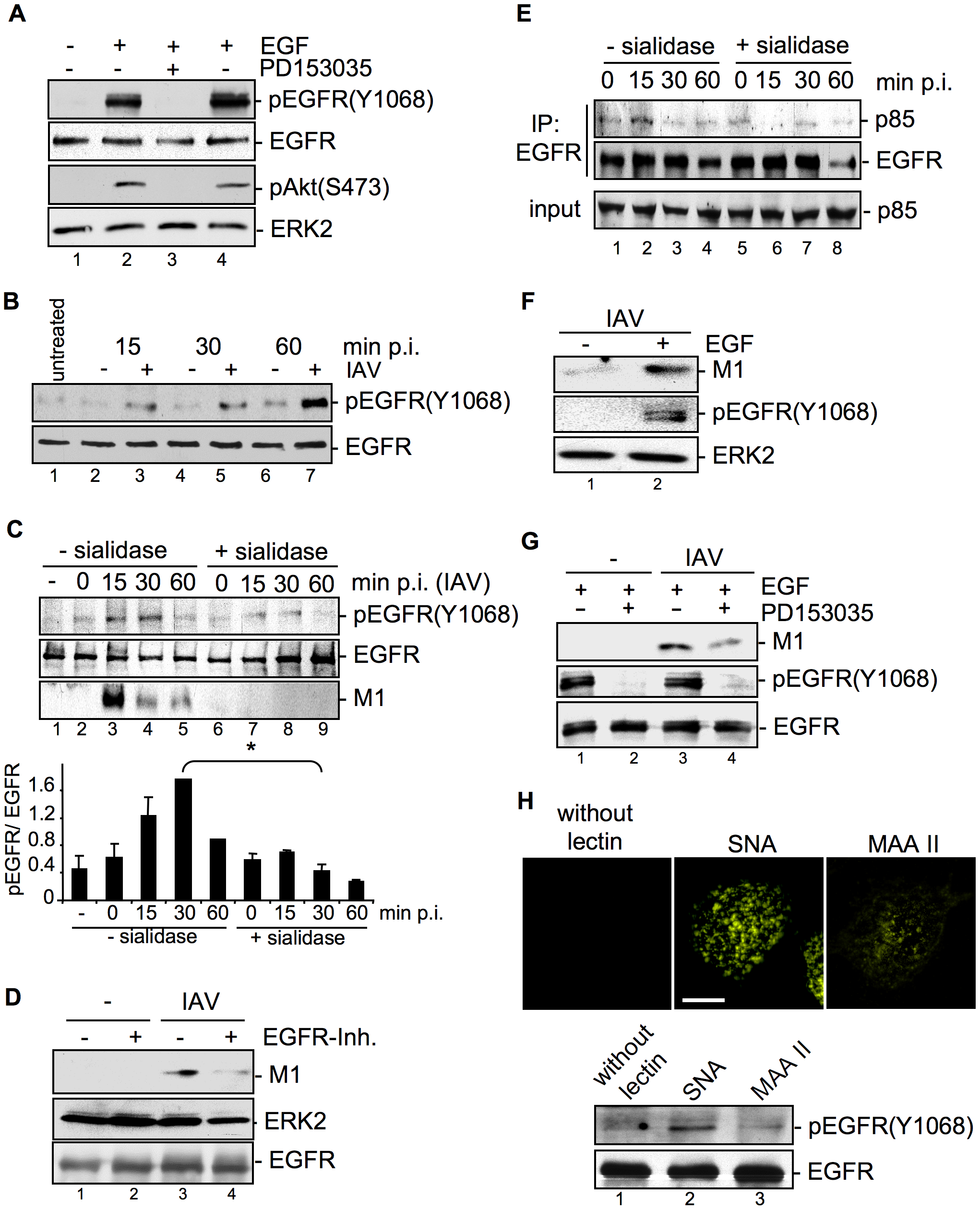 EGFR kinase activity is induced upon viral attachment and is required for efficient IAV internalization.
