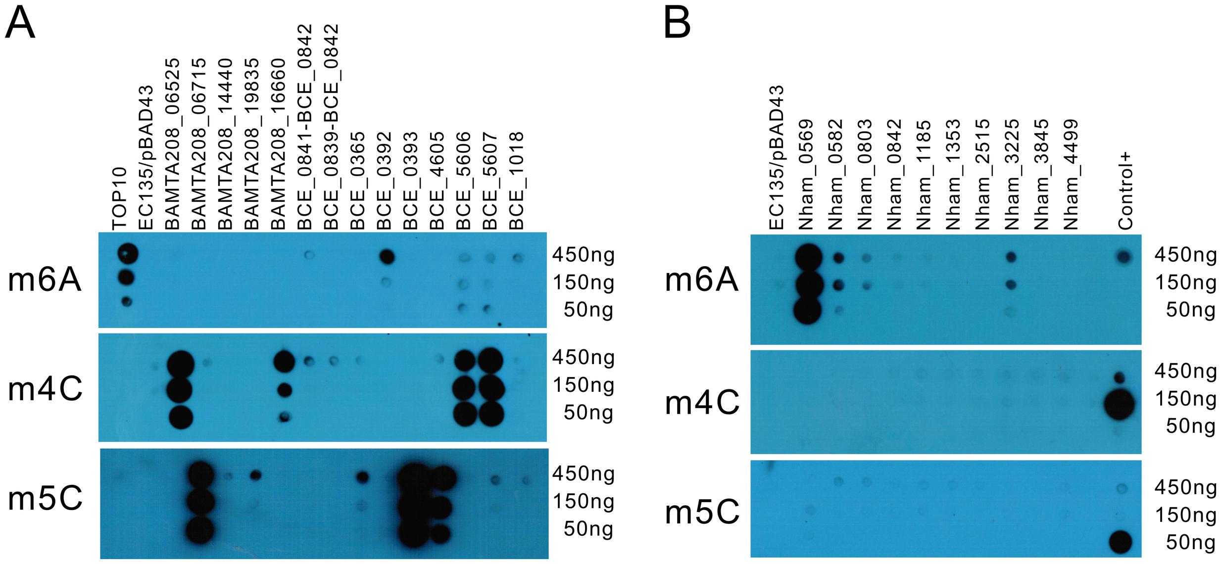Dot blot assay for individual MTase activity.