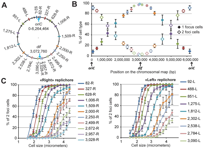 Progressive segregation of <i>P. aeruginosa</i> chromosomal loci.