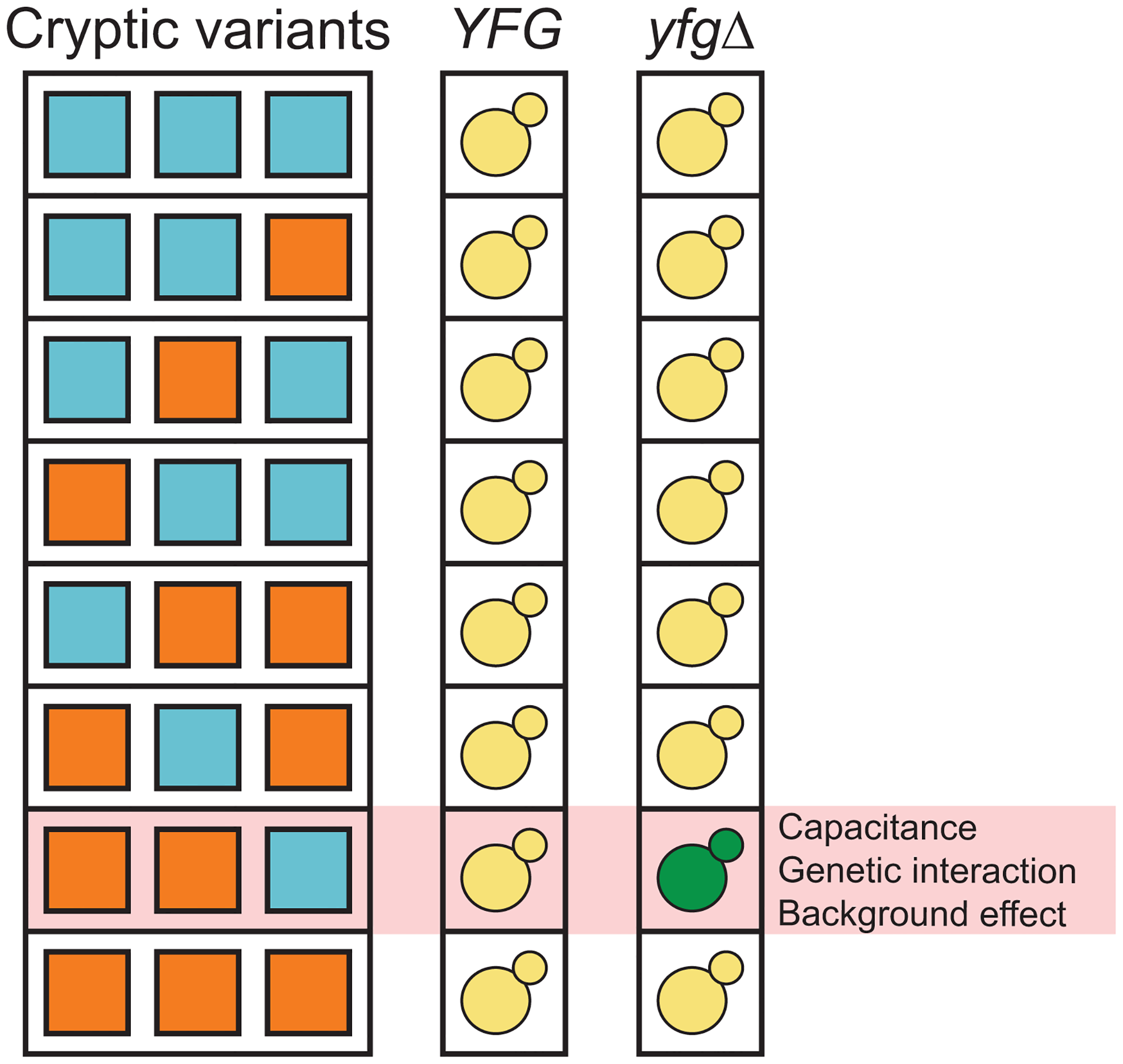 Capacitance, higher-order genetic interactions, and genetic background effects might be related phenomena that involve interactions among capacitating mutations and cryptic variants.