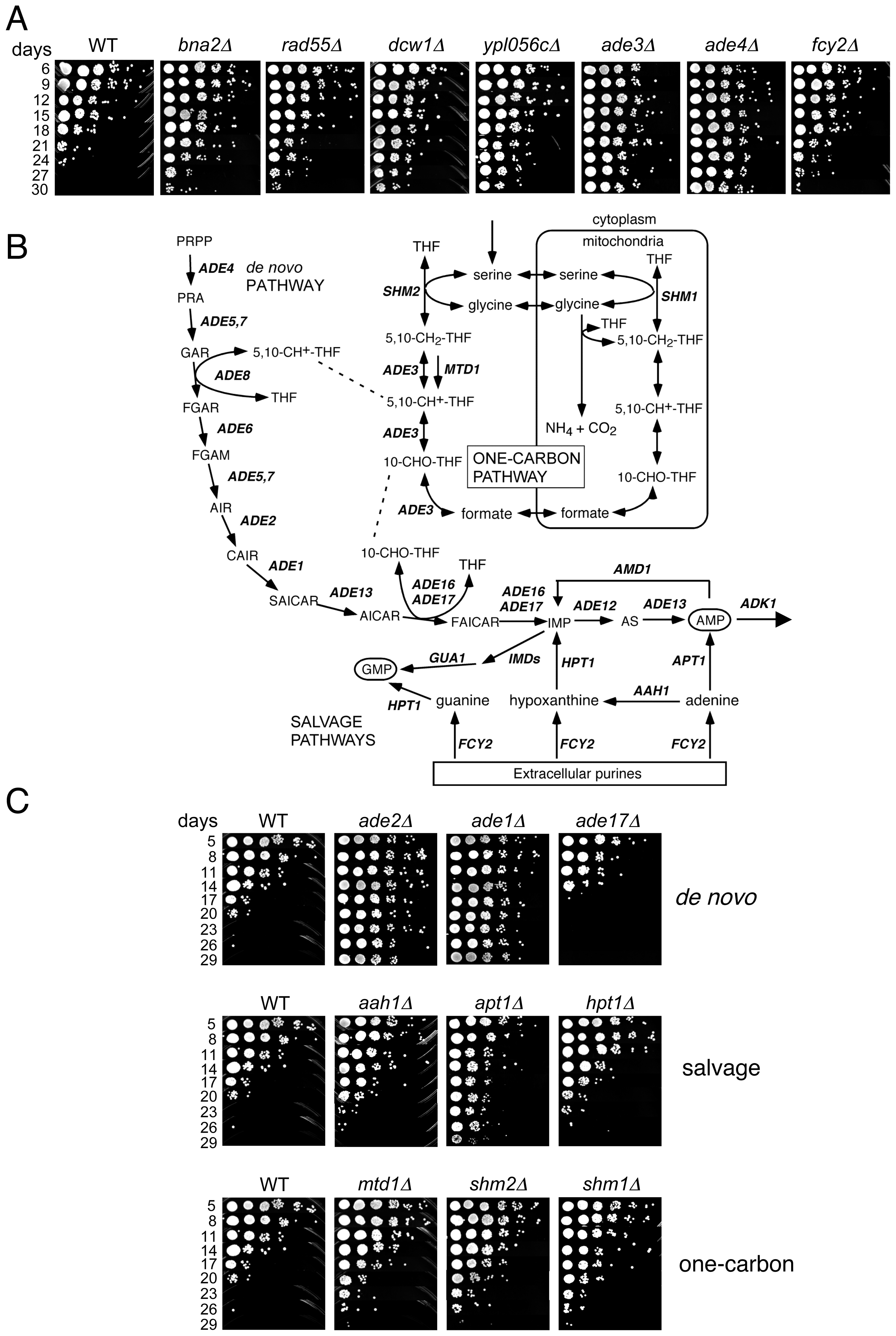 Lifespan-extending mutants include those that block <i>de novo</i> and salvage biosynthesis of purines.
