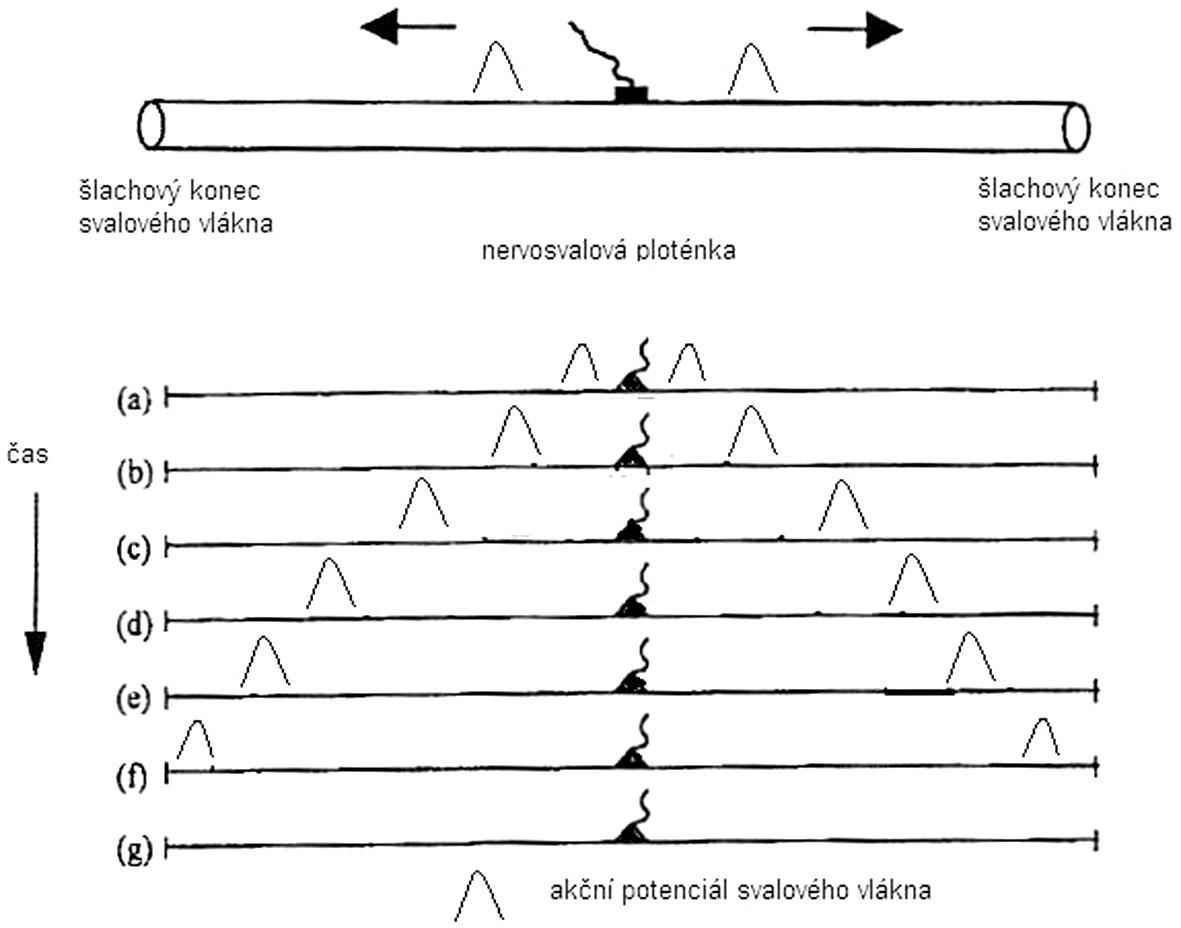 Životní cyklus akčního potenciálu na svalovém vláknu v závislosti na čase.