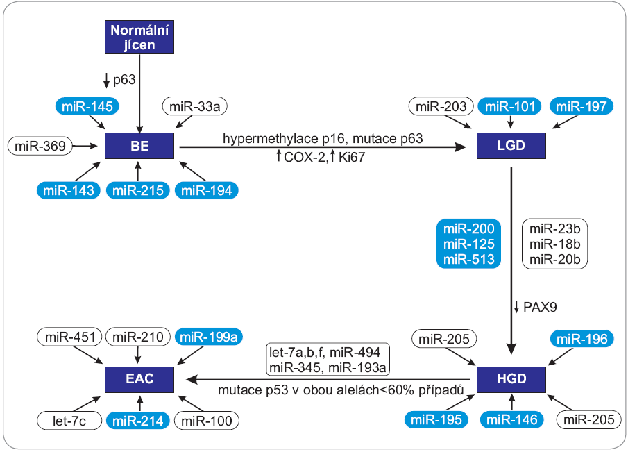 Schéma zapojení vybraných miRNA do progrese karcinomu jícnu od BE k EAC.