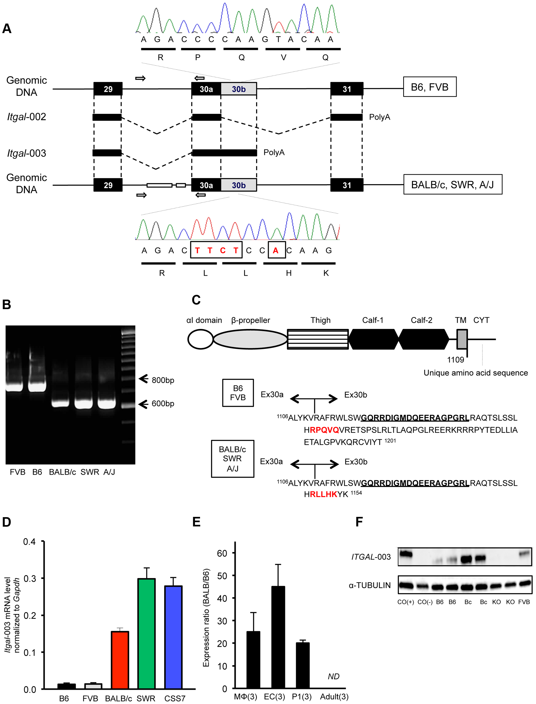 A truncated cytoplasmic tail of the protein and increased mRNA level of a splice variant of <i>Itgal</i> correspond with allelic variation between mouse strains.