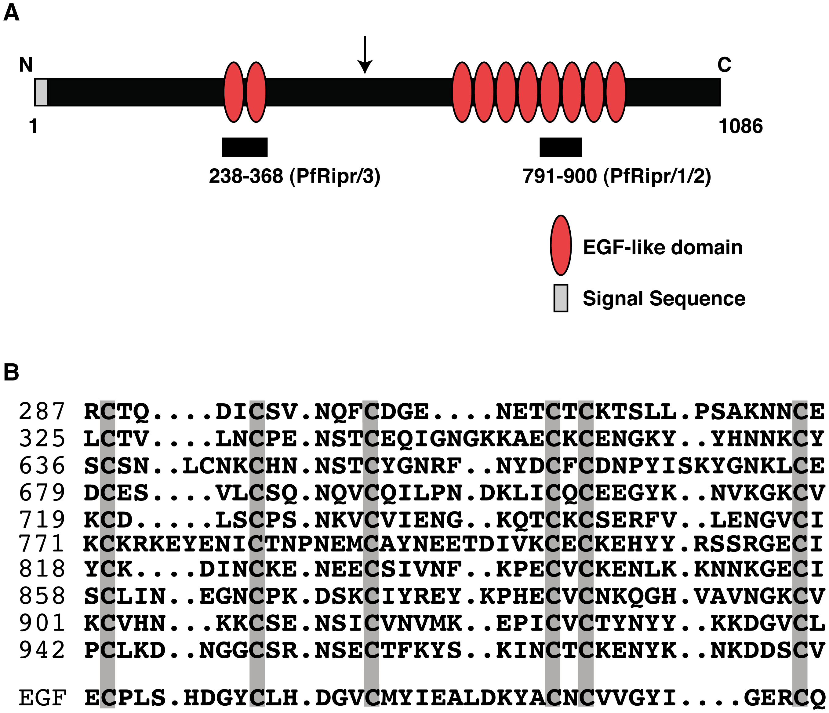PfRipr protein has ten EGF-like domains.