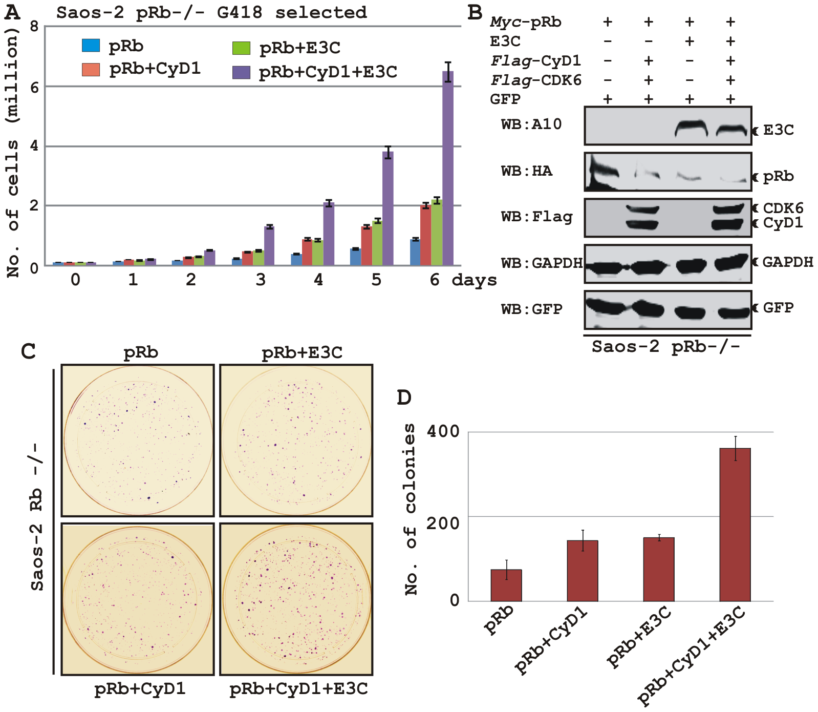 EBNA3C coupled with Cyclin D1/CDK6 complex nullifies the growth suppressive effect by pRb.