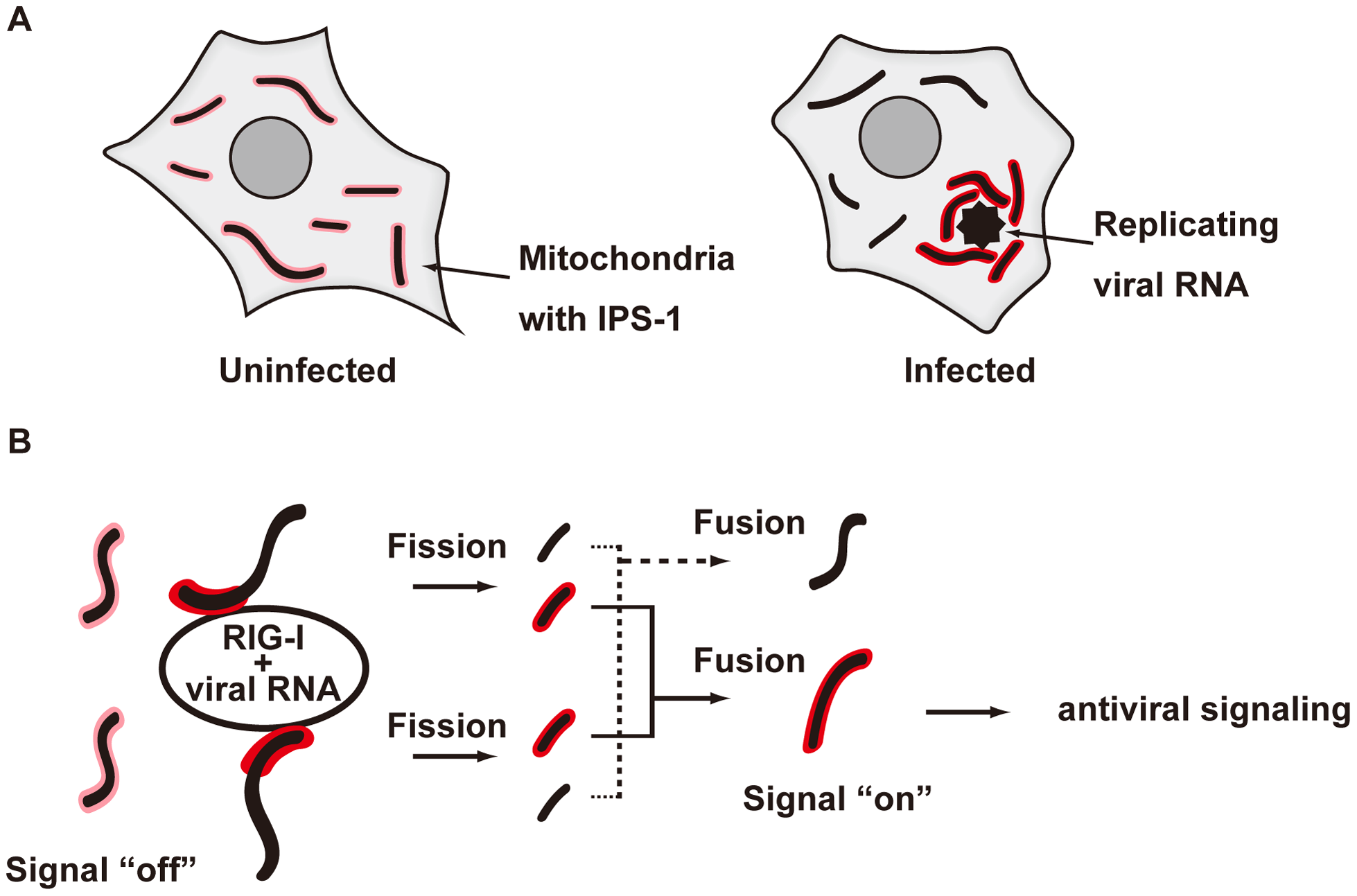 Model for the redistribution of IPS-1 mediated by mitochondrial organization.