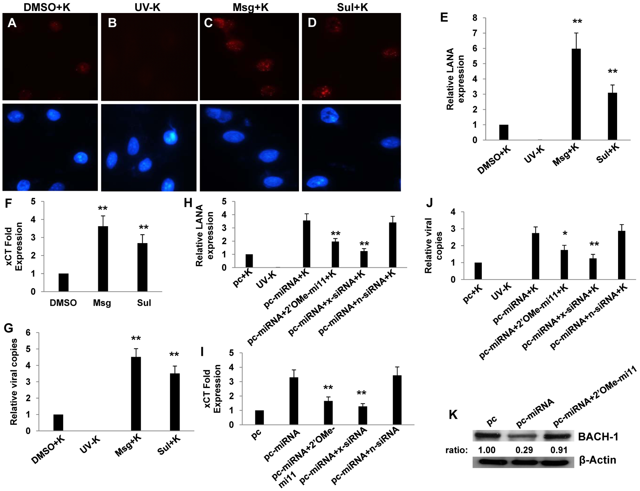 miR-K12-11 suppresses BACH-1 expression and increases endothelial cell susceptibility to KSHV through upregulation of xCT.