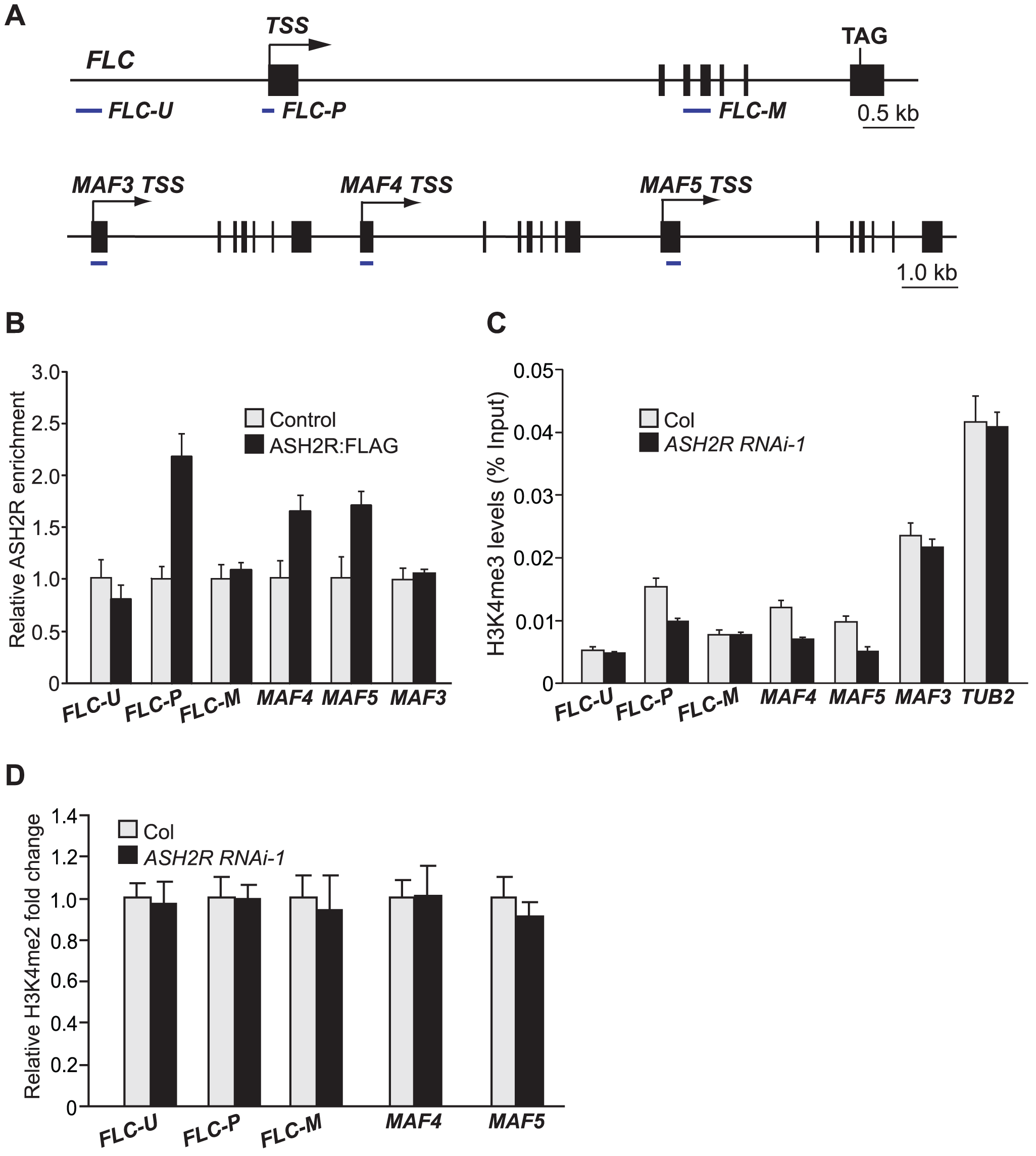 ASH2R Directly Mediates H3K4 Trimethylation in Its Target Genes <i>FLC</i>, <i>MAF4</i>, and <i>MAF5</i>.