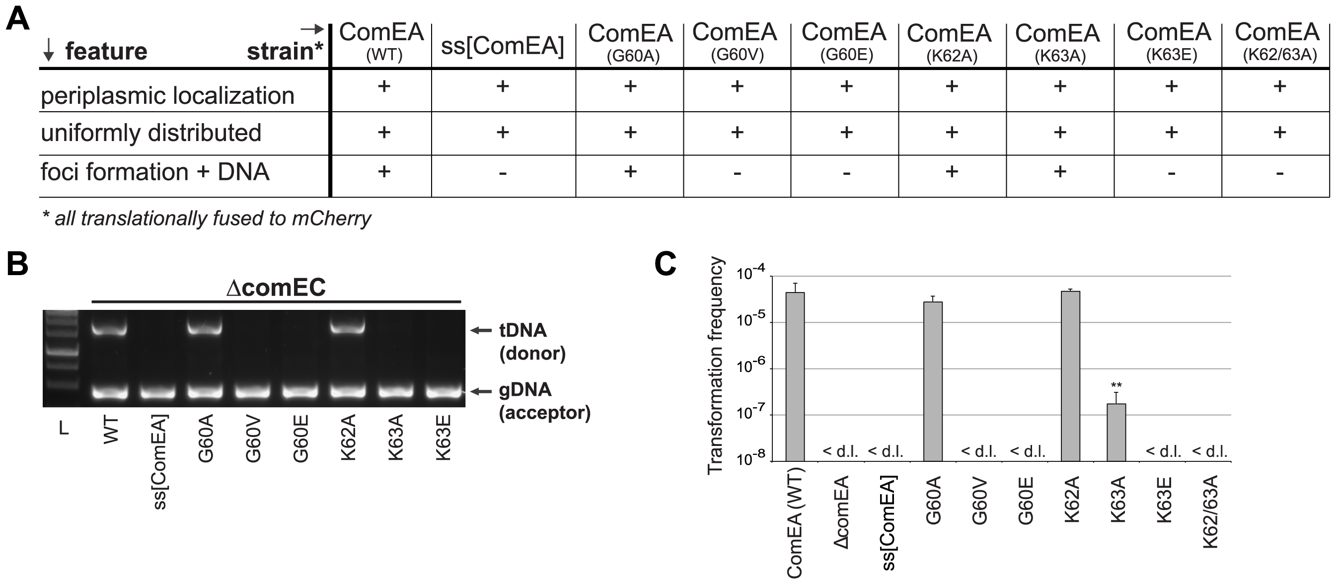 <i>In vivo</i> validation of ComEA-DNA interaction sites.