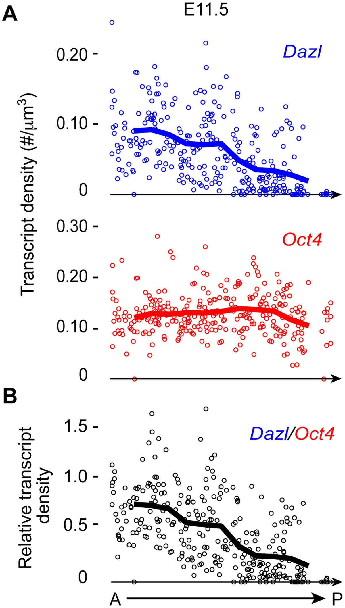 <i>Dazl</i> expression in germ cells displays an A-P gradient along the genital ridge.