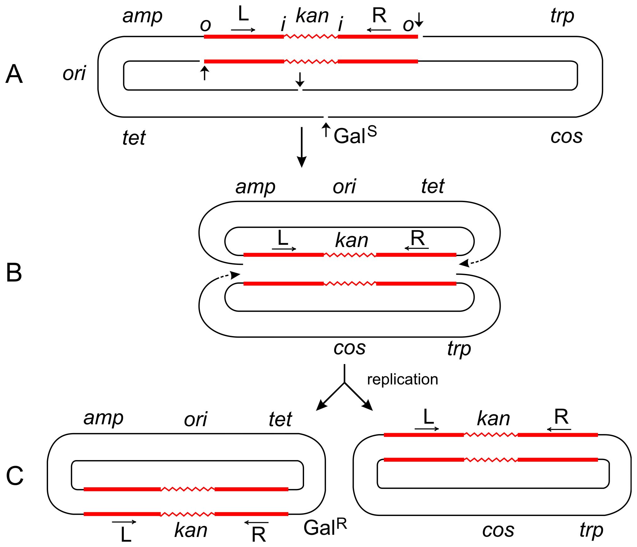 Steps in the formation of Tn<i>5</i>-promoted adjacent deletions.