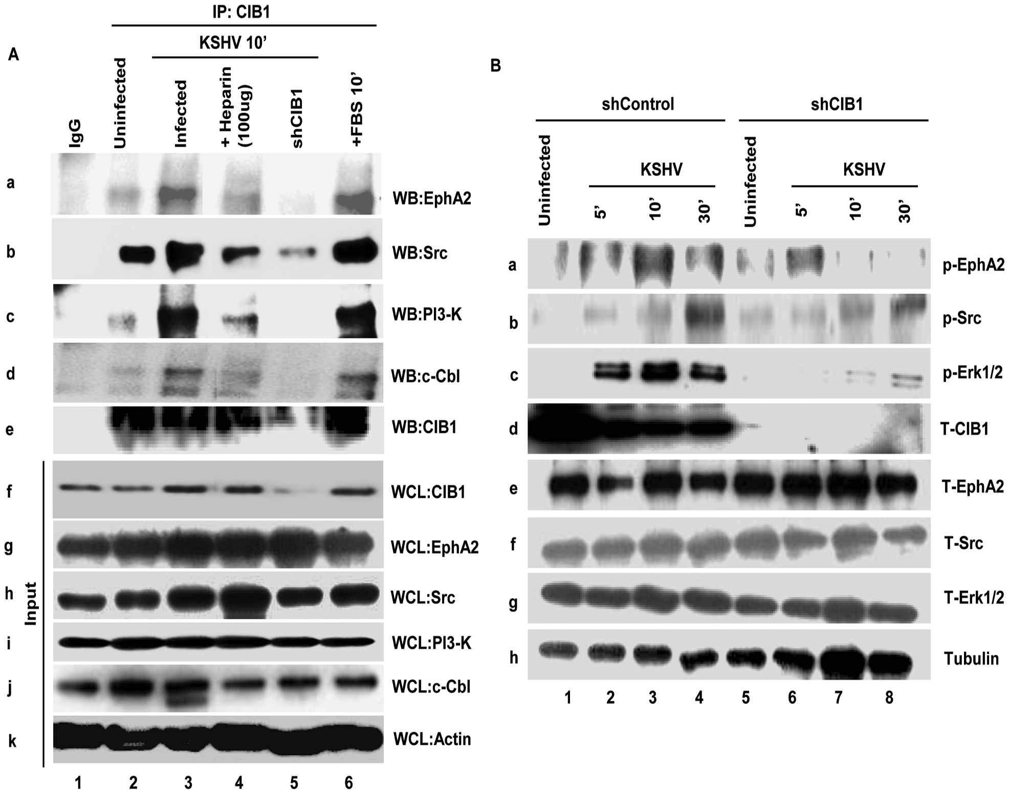 CIB1 association with KSHV macropinocytosis associated signal molecules and regulation of signal pathways early during <i>de novo</i> infection of HMVEC-d cells.