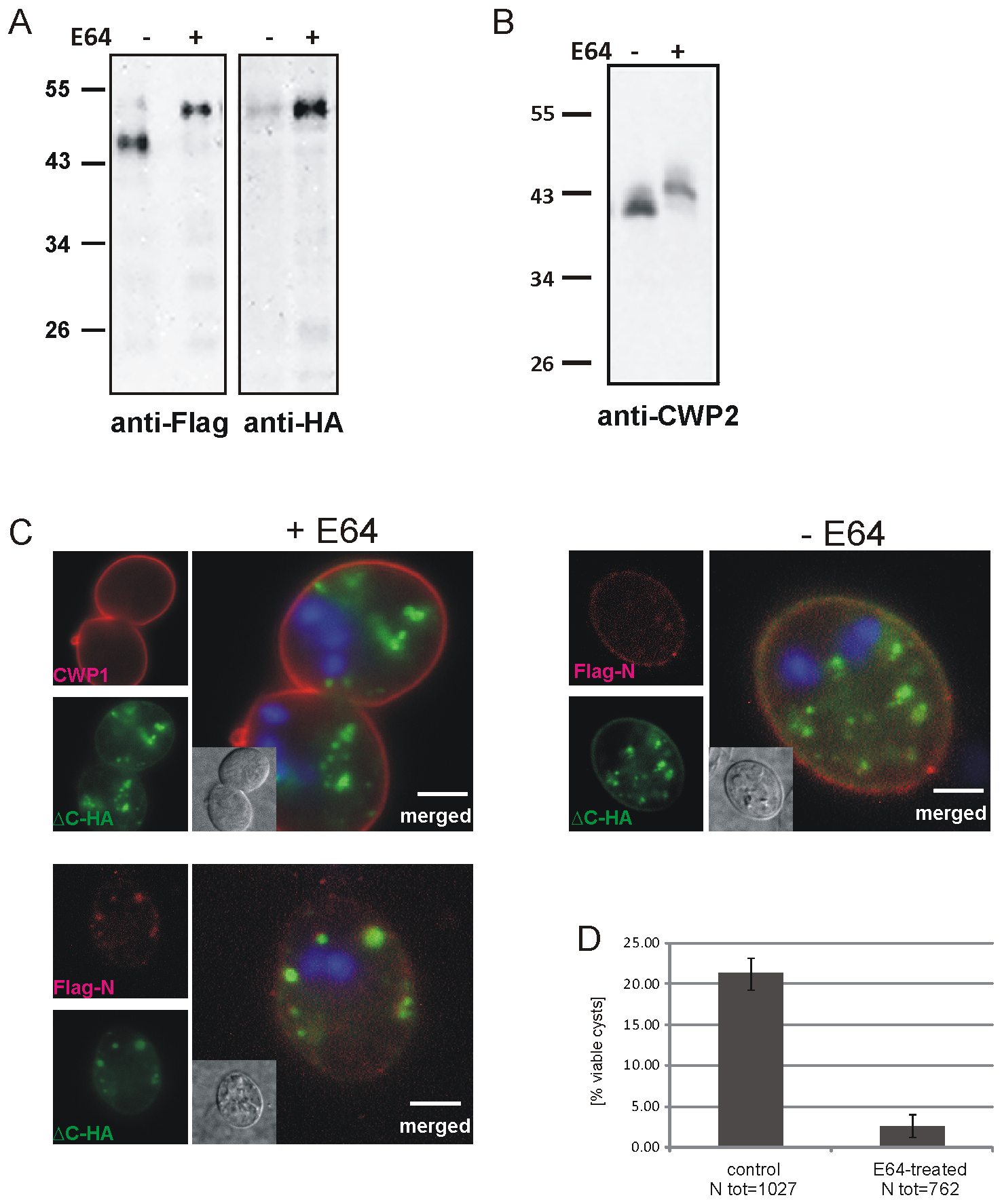 Inhibition of CWP2 and Flag-CWP2-HA processing by E64 treatment leads to mis-targeting and formation of cysts which are significantly less water resistant.