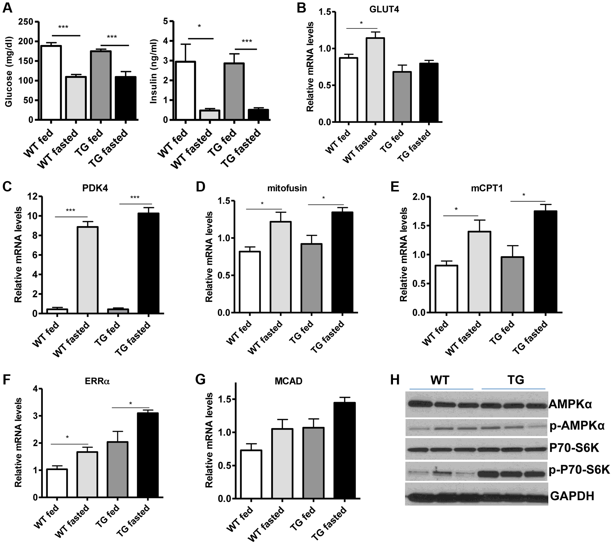 SIRT1 overexpression in skeletal muscle does not affect the fasting response.