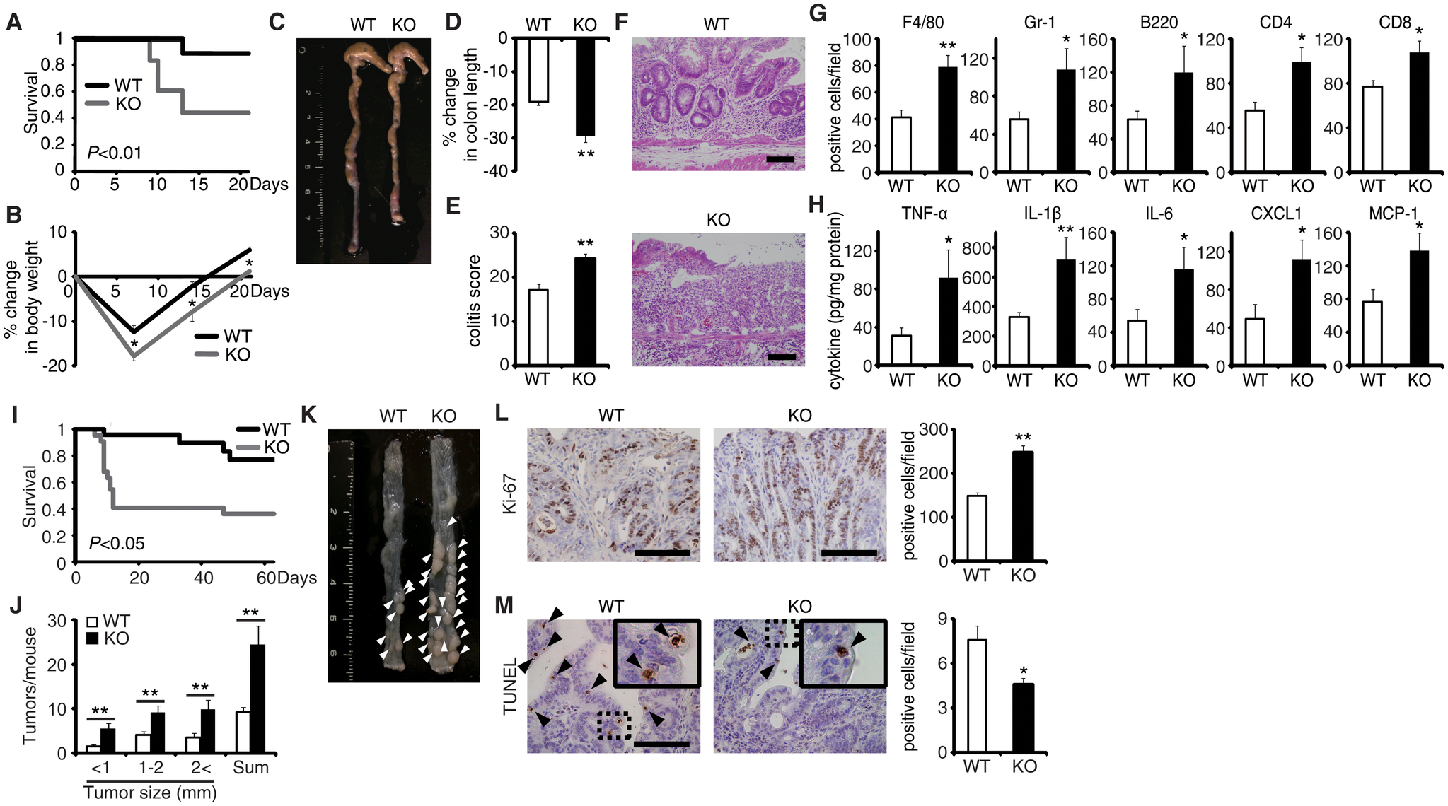 EPRAP deficiency exacerbates DSS-induced colitis and adenoma formation after AOM/DSS treatment.