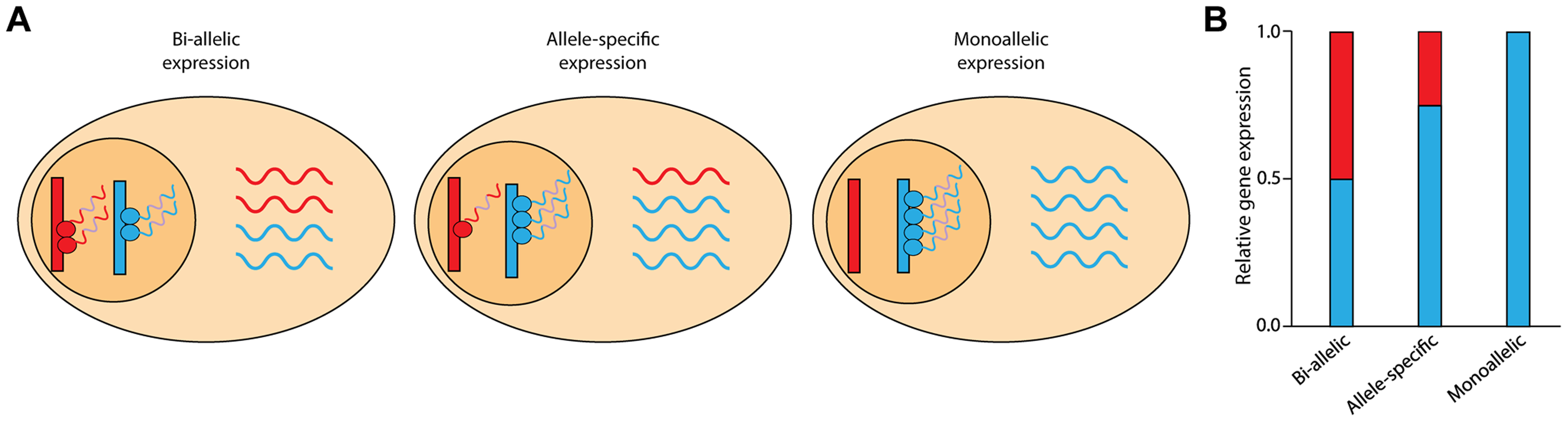 Schematic of allele-specific expression.