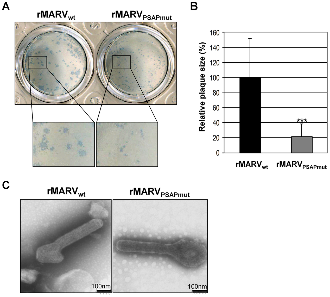 rMARV<sub>PSAPmut</sub> shows reduced plaque size but unaltered particle morphology.