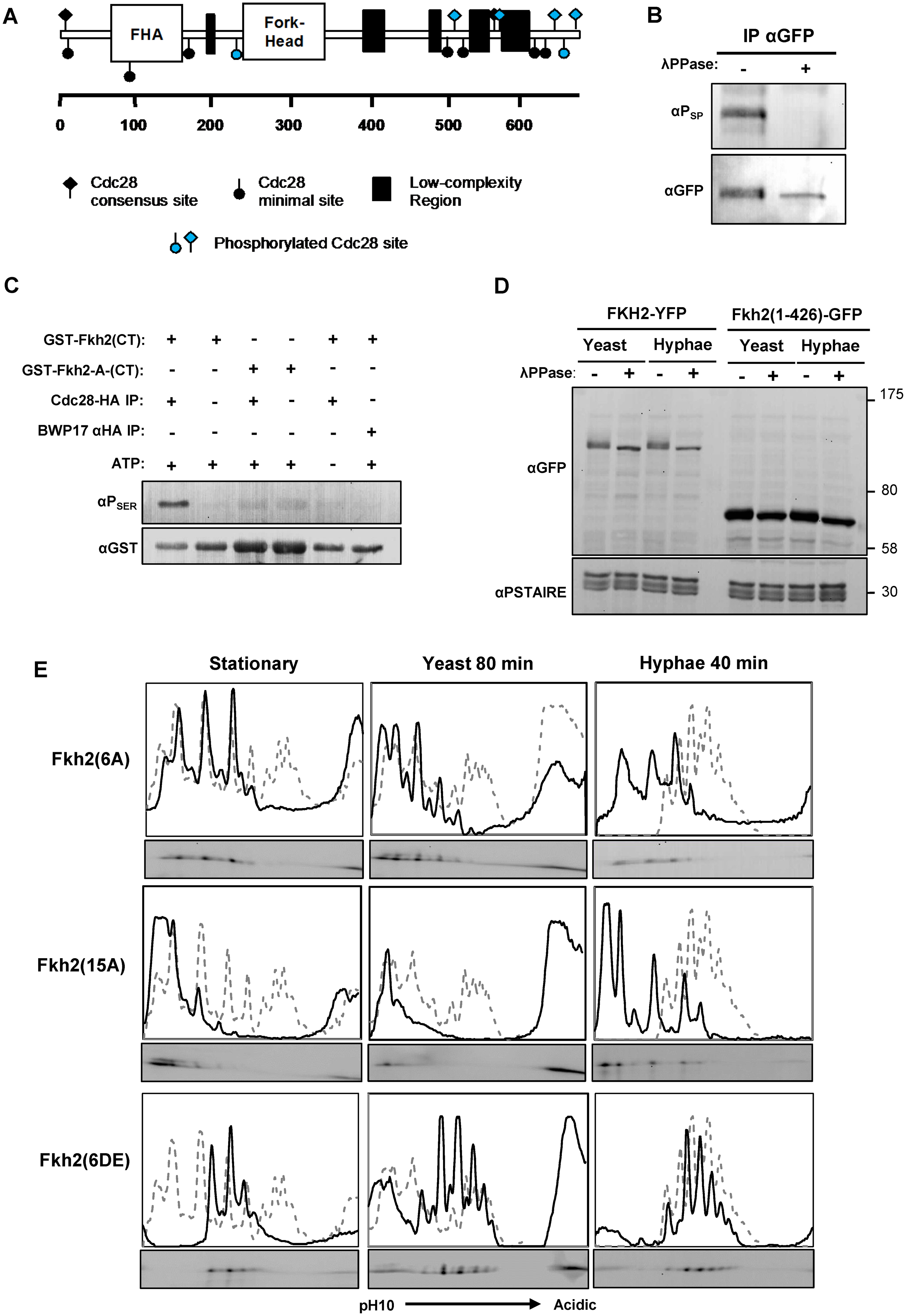 Fkh2 is phosphorylated by Cdc28.