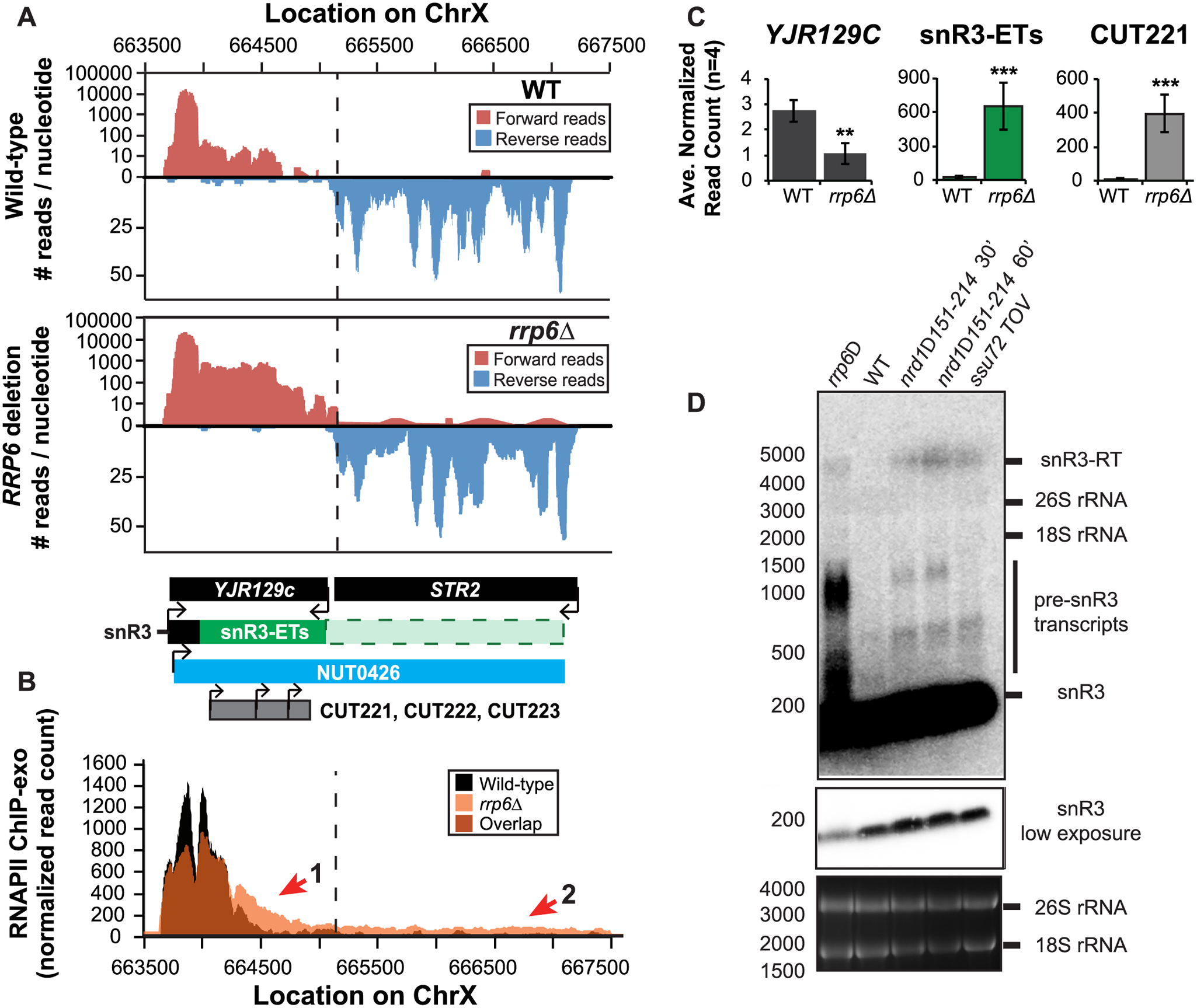 The H/ACA box small nucleolar RNA snR3 requires Rrp6 for efficient termination.