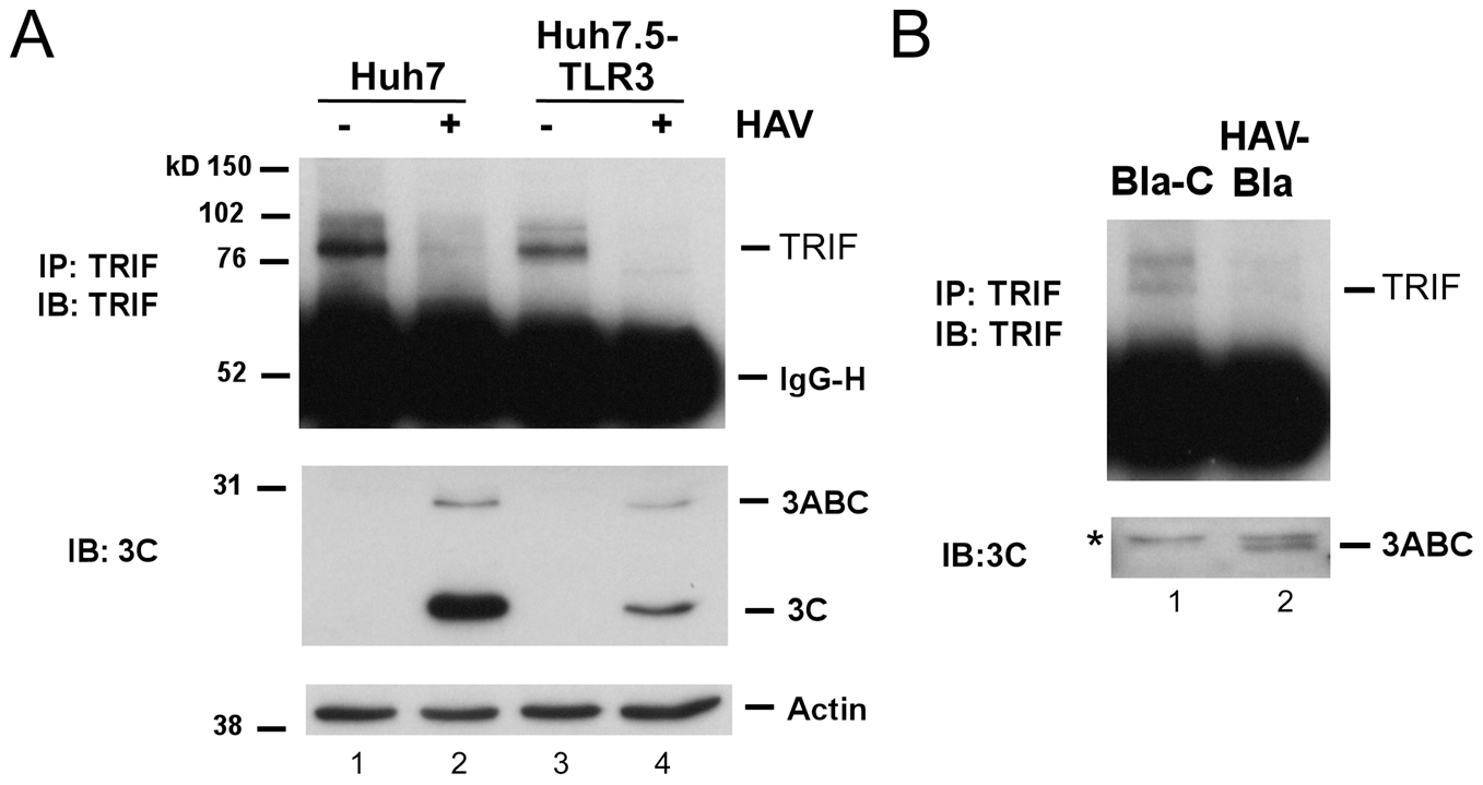 TRIF abundance is reduced by HAV infection.