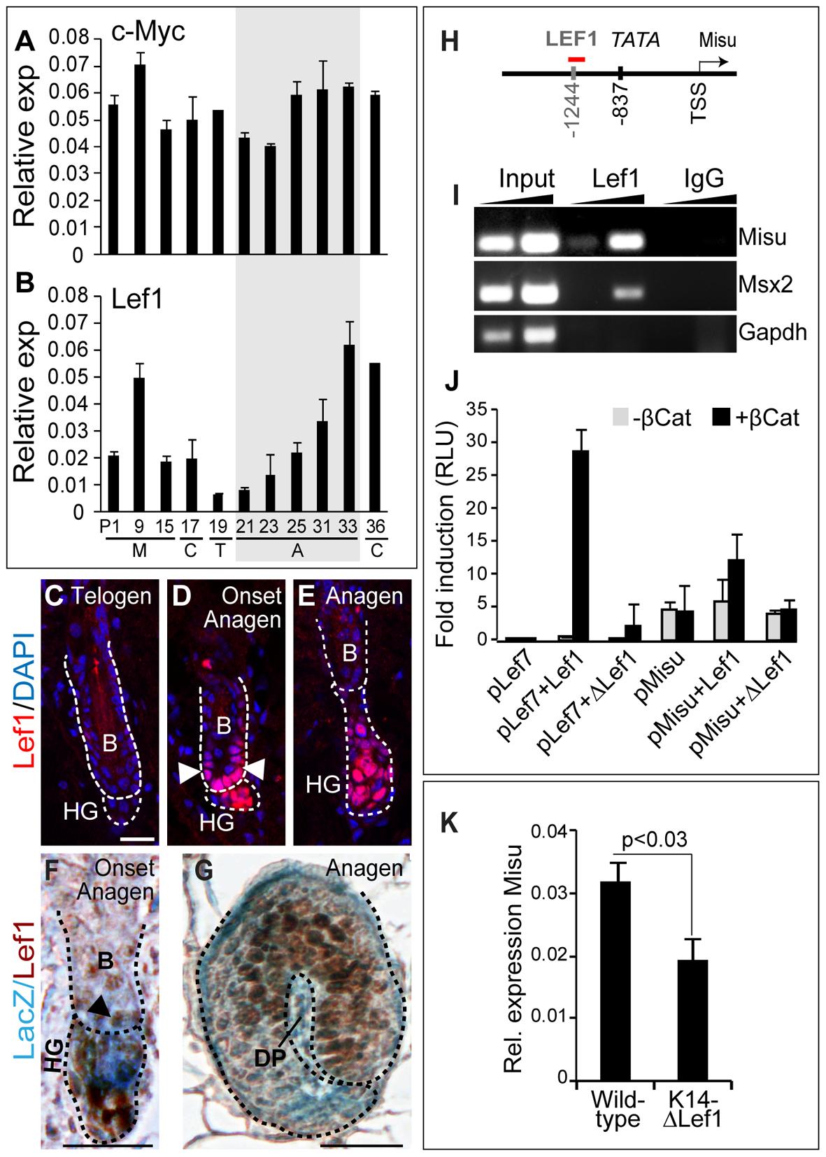 Misu is a down-stream target gene of the Lef1/β-Catenin complex in adult skin.