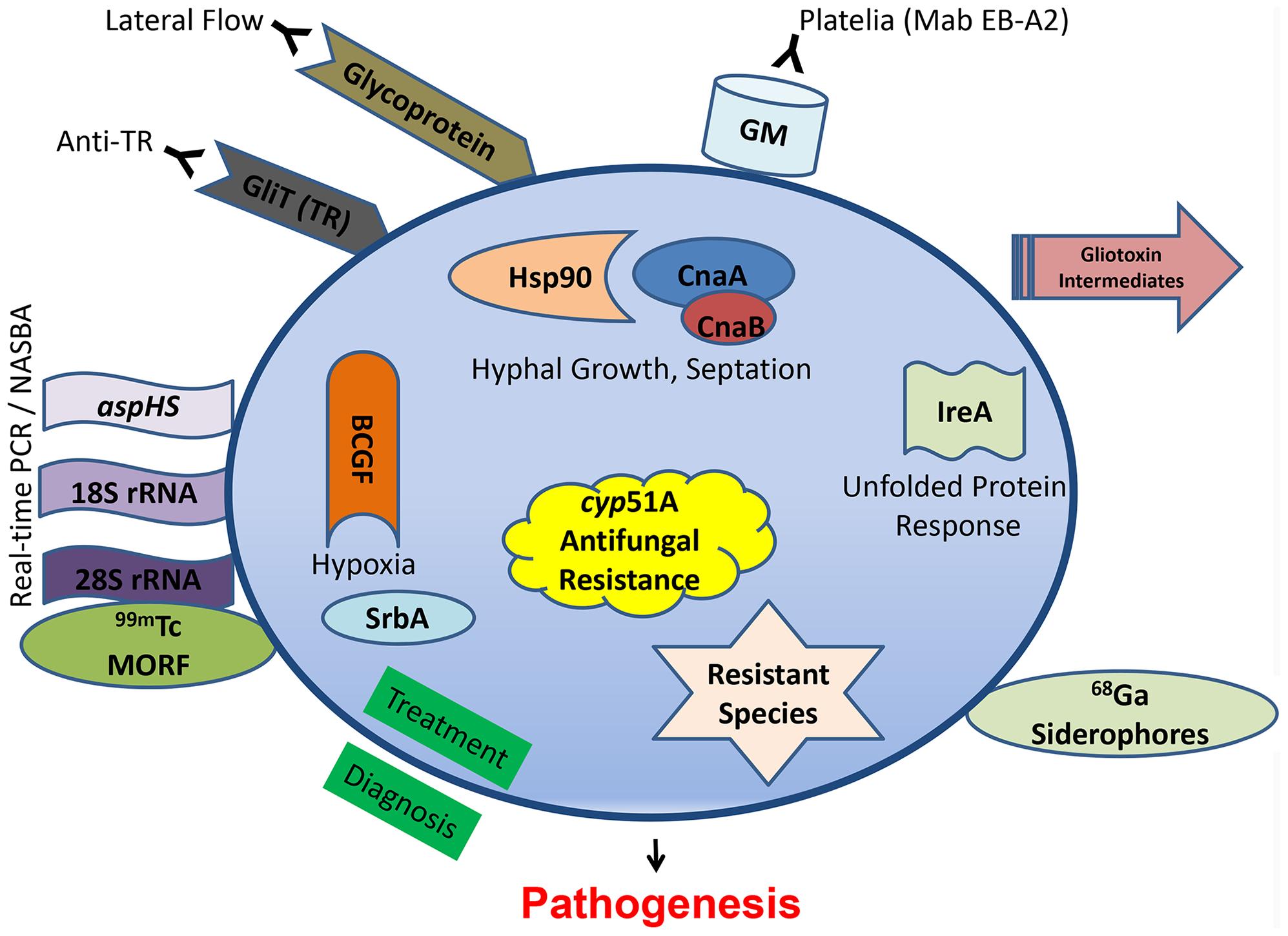 Recent diagnostic and therapeutic target advances against <i>Aspergillus fumigatus</i>.