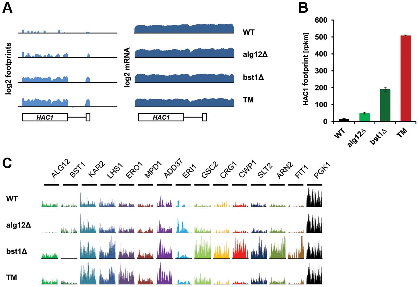 Deletion of <i>ALG12</i> and <i>BST1</i> induce UPR signaling and translation of UPR target genes.