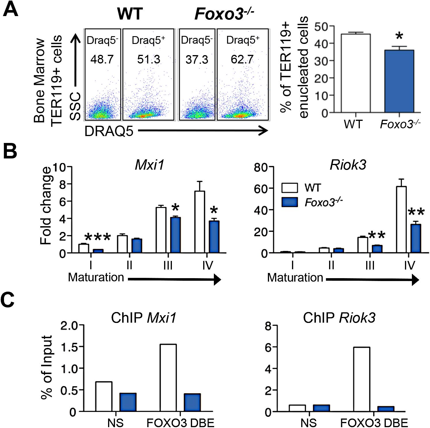 Impaired enucleation-related gene transcription in <i>Foxo3</i><sup><i>-/-</i></sup> bone marrow erythroblasts.