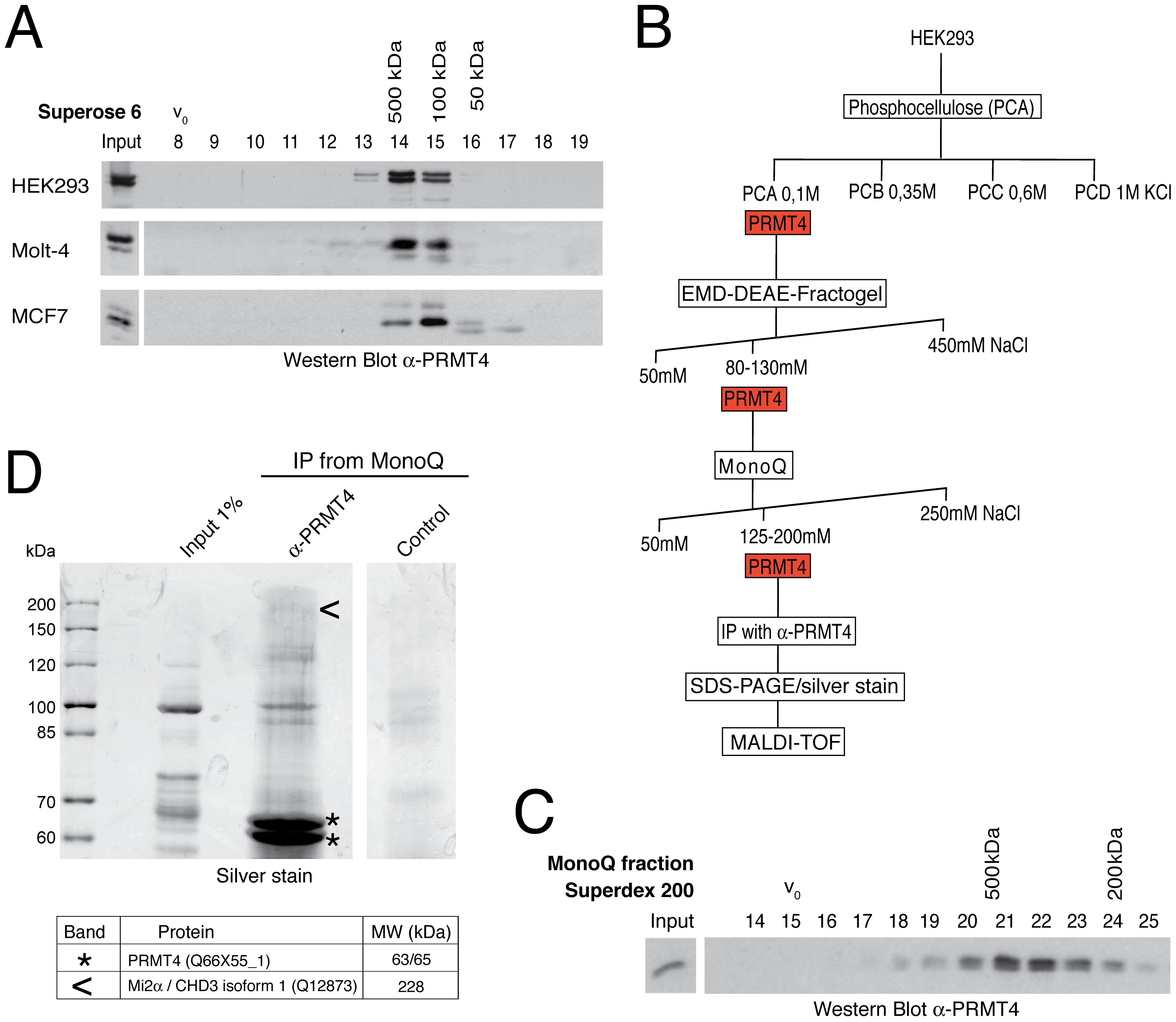 Identification of putative interaction partners of PRMT4.