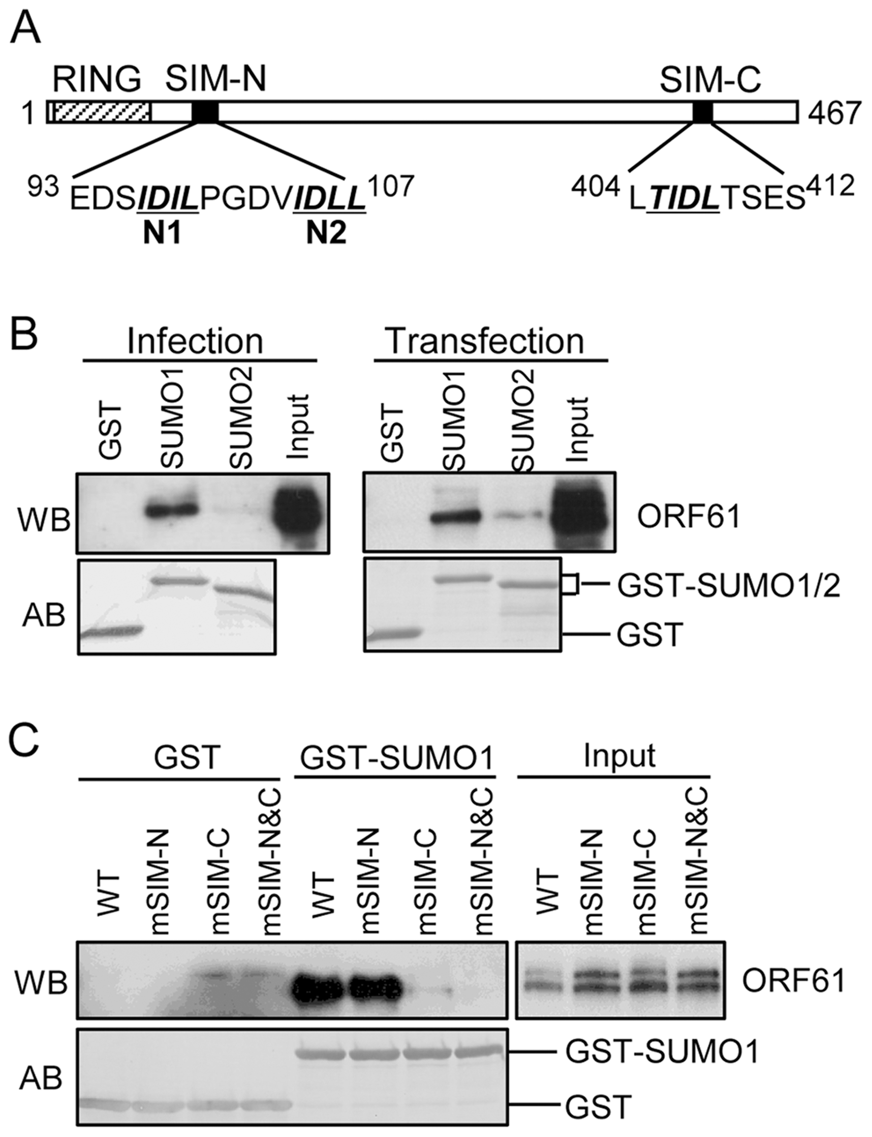 ORF61 binds to SUMO1/2 through conserved SUMO-interacting motifs (SIMs).